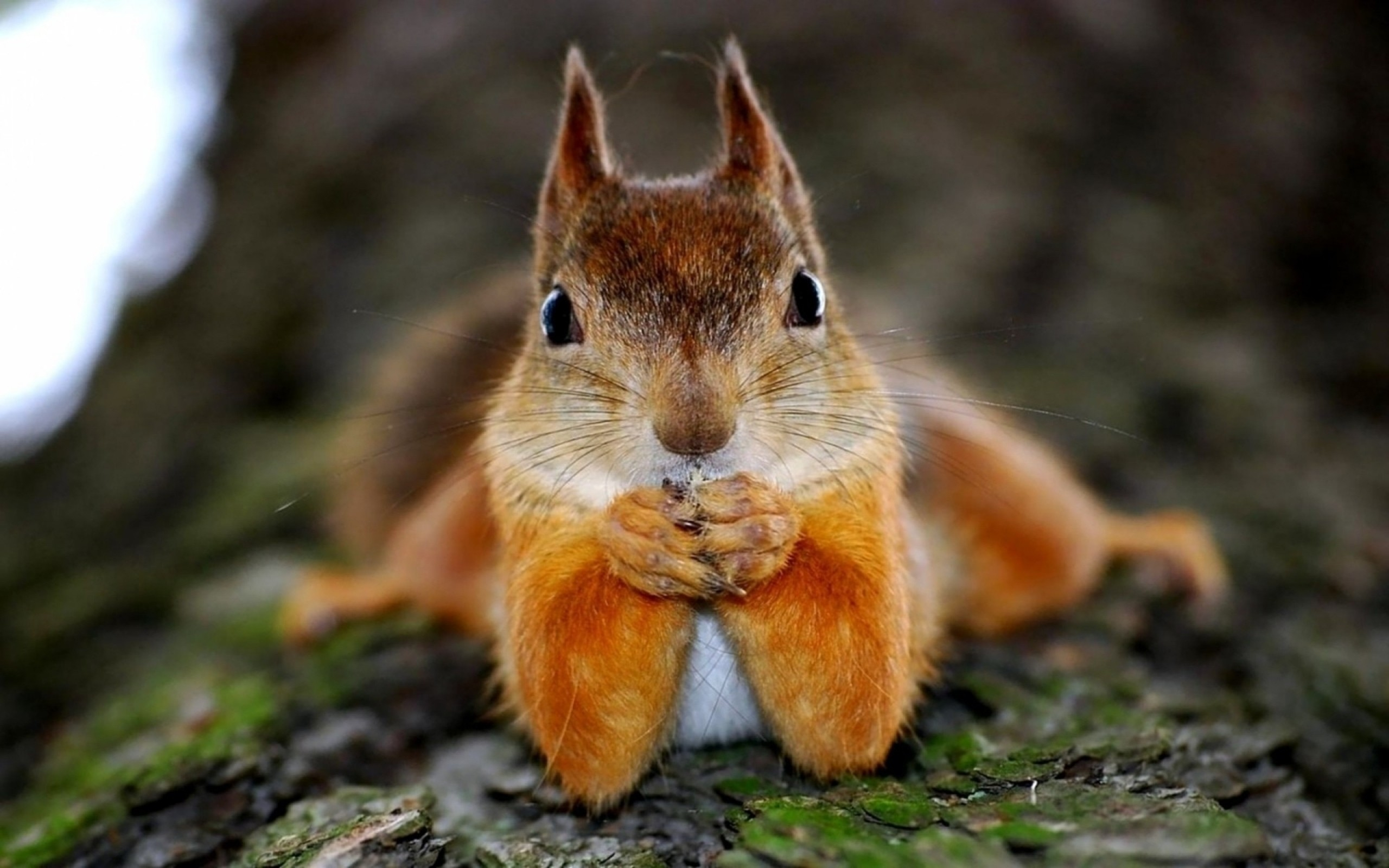 2560x1600 Wallpaper squirrel, animal, look