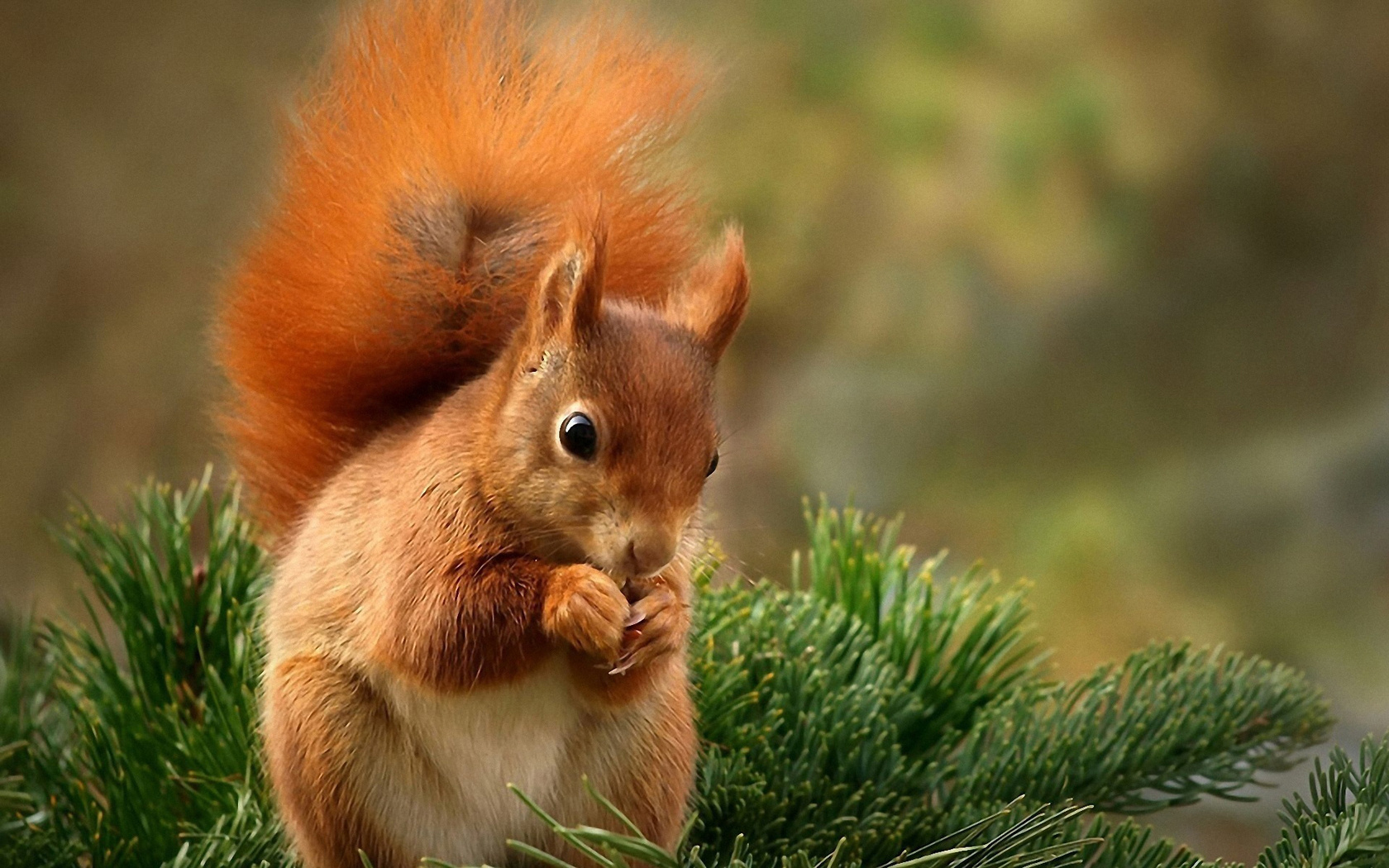 Squirrel Wallpaper HD