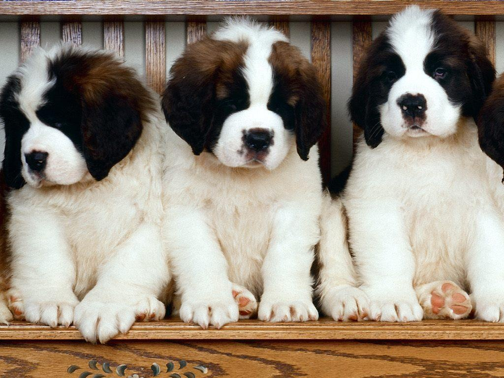 Saint Bernards Photo