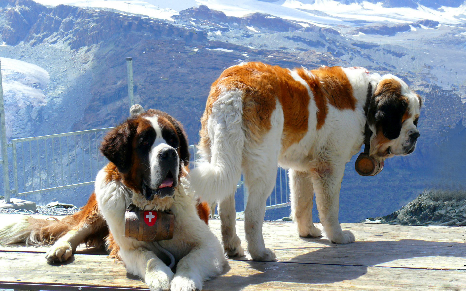 original wallpaper download: St. Bernards - 1920x1200