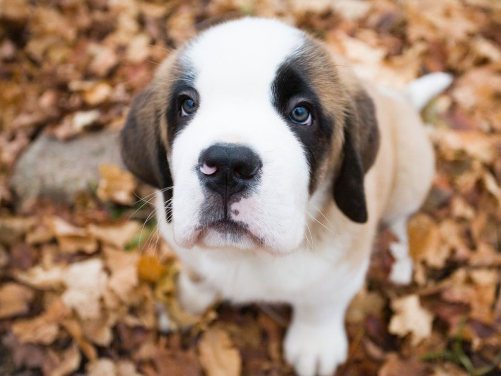 The very fast growth rate and the weight of a St. Bernard can lead to very serious deterioration of the bones if the dog does not get proper food and ...