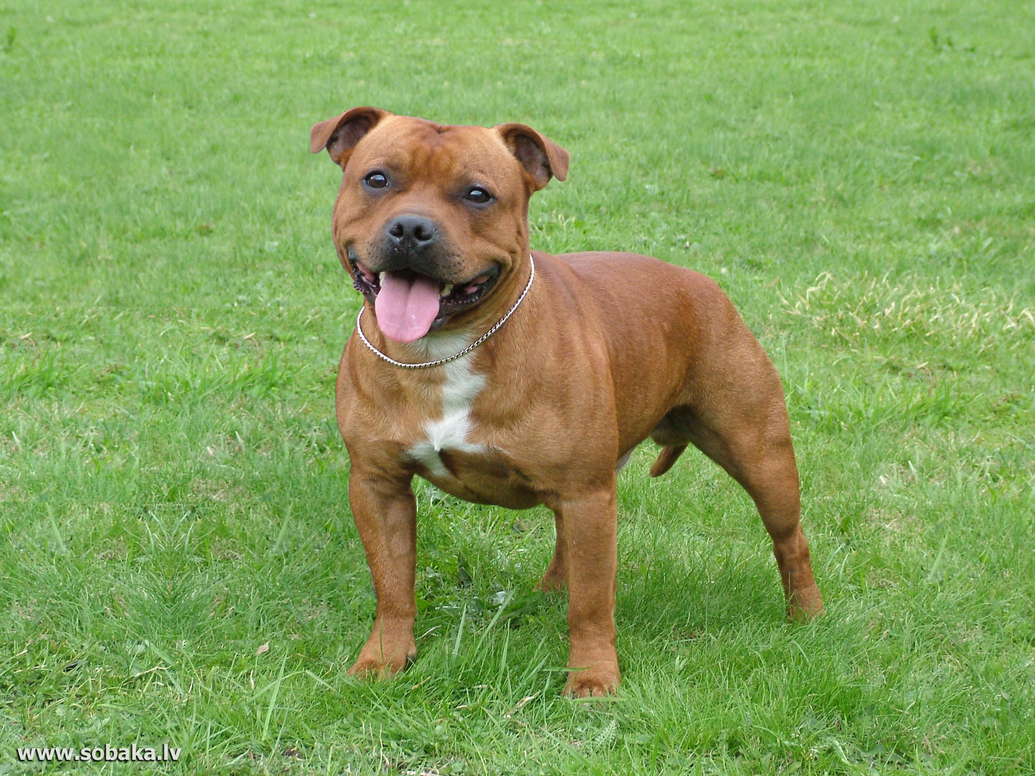 Staffordshire Bull Terrier- Photo#08