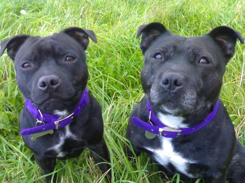 Irish Staffordshire bull terrier pair of dogs