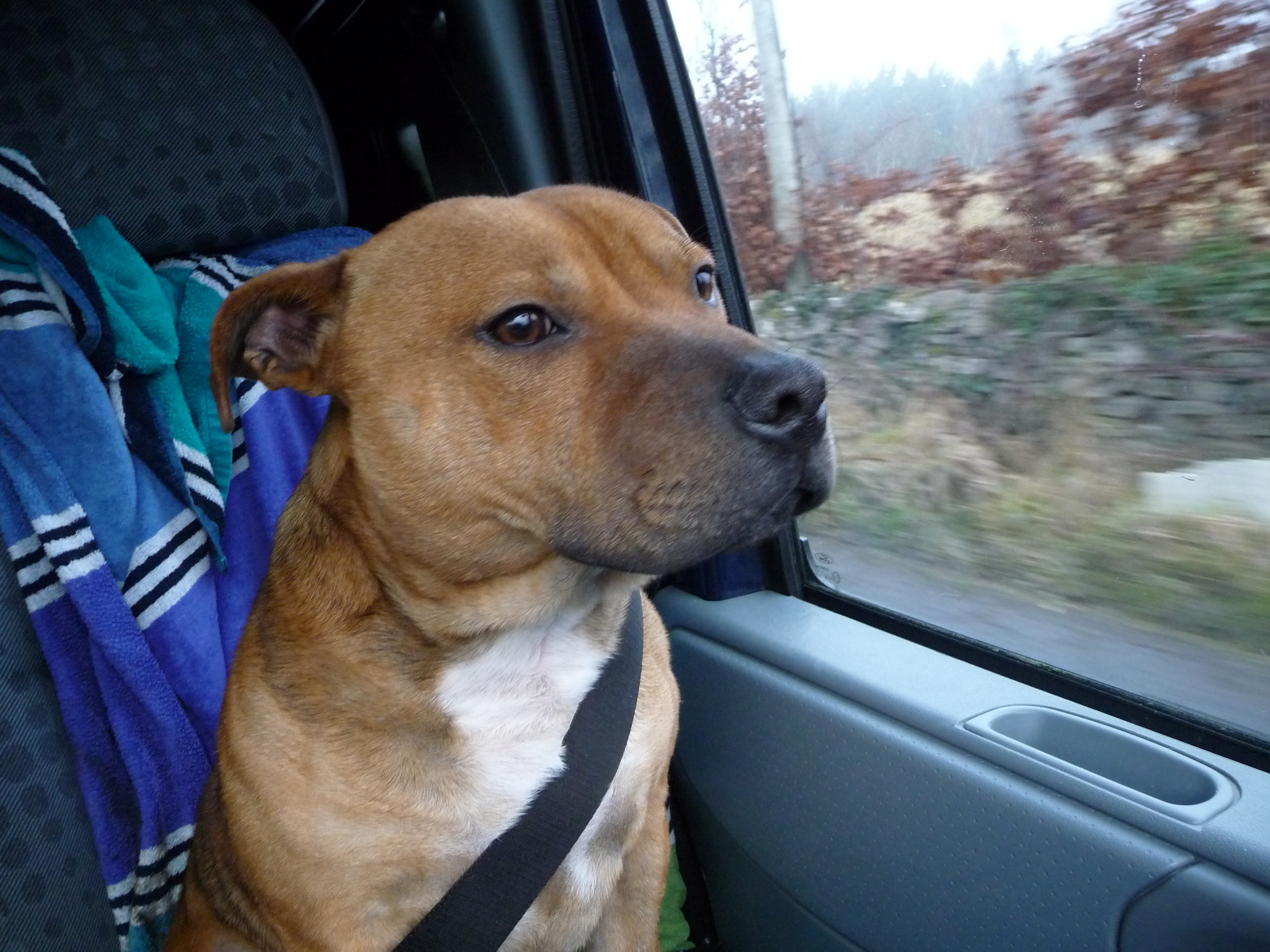 ted - staffordshire-bull-terrier Photo