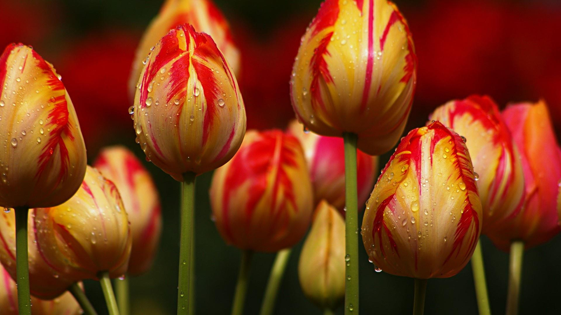 Red striped yellow tulips HQ WALLPAPER - (#161079)