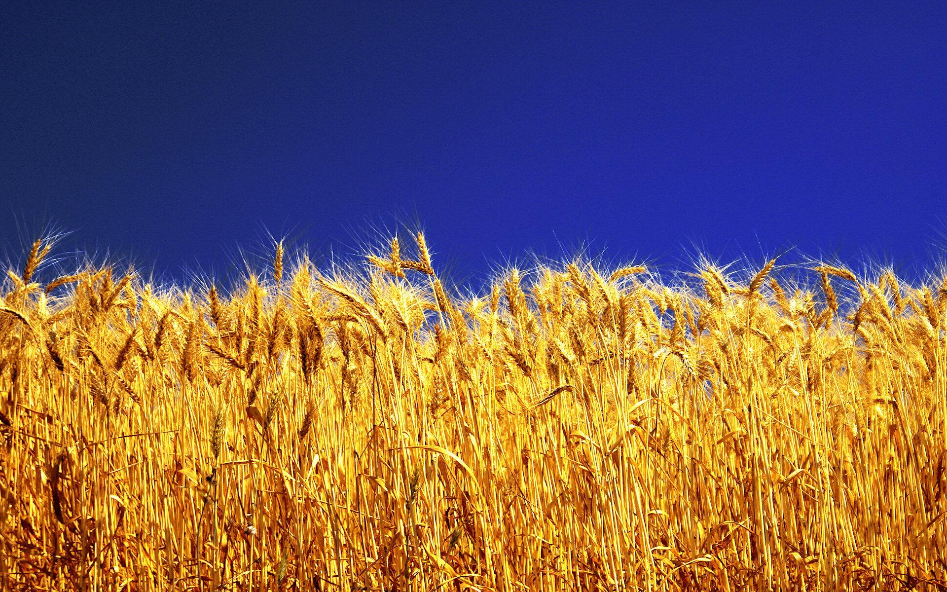 Stunning Barley Wallpaper 35395 1920x1200 px