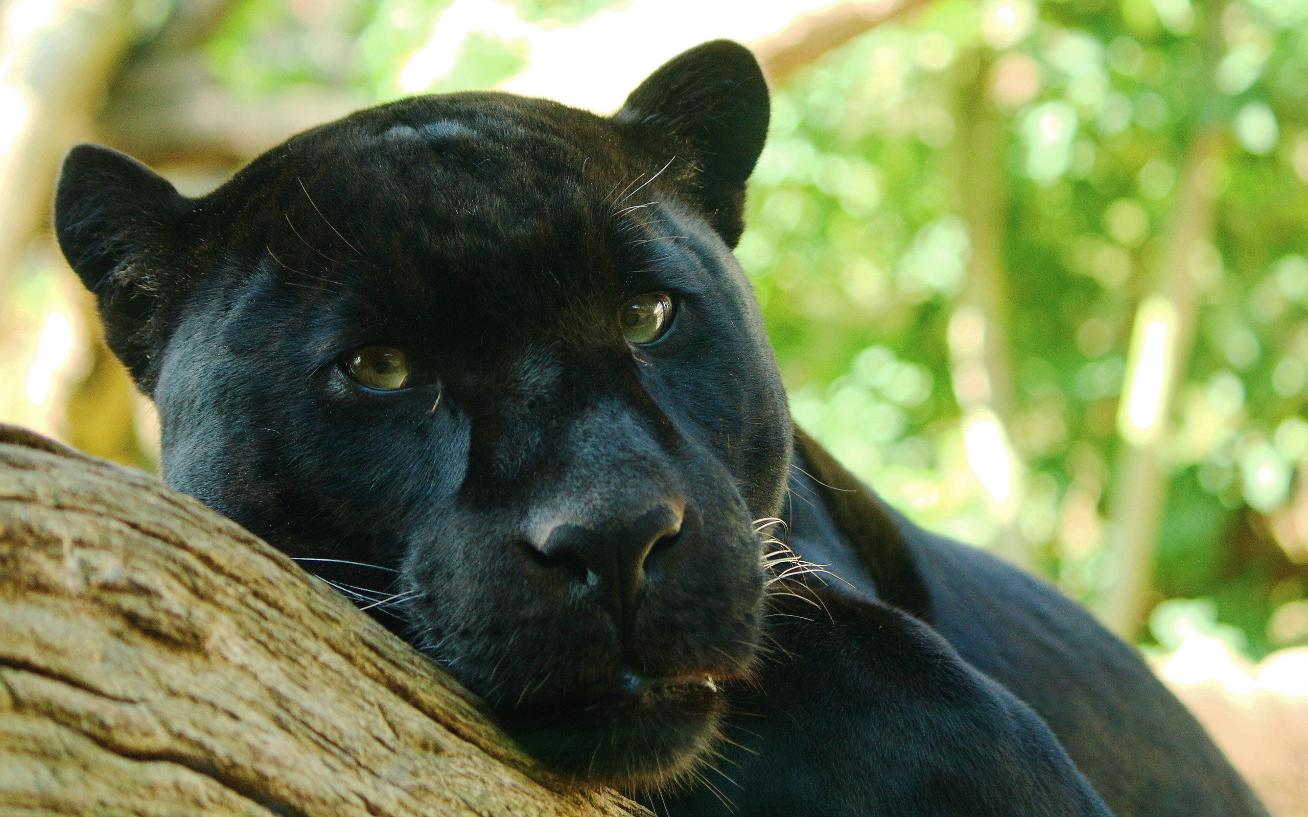 Stunning Black Panther