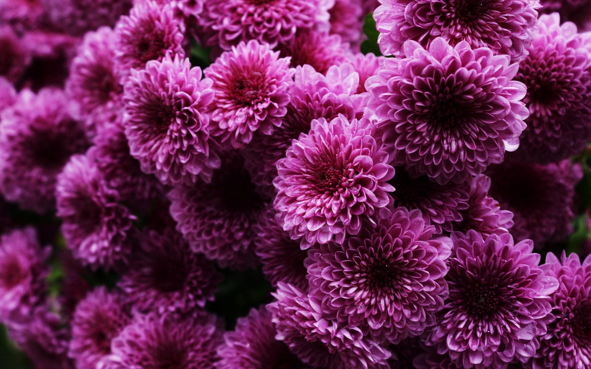 Stunning Chrysanthemums Wallpaper