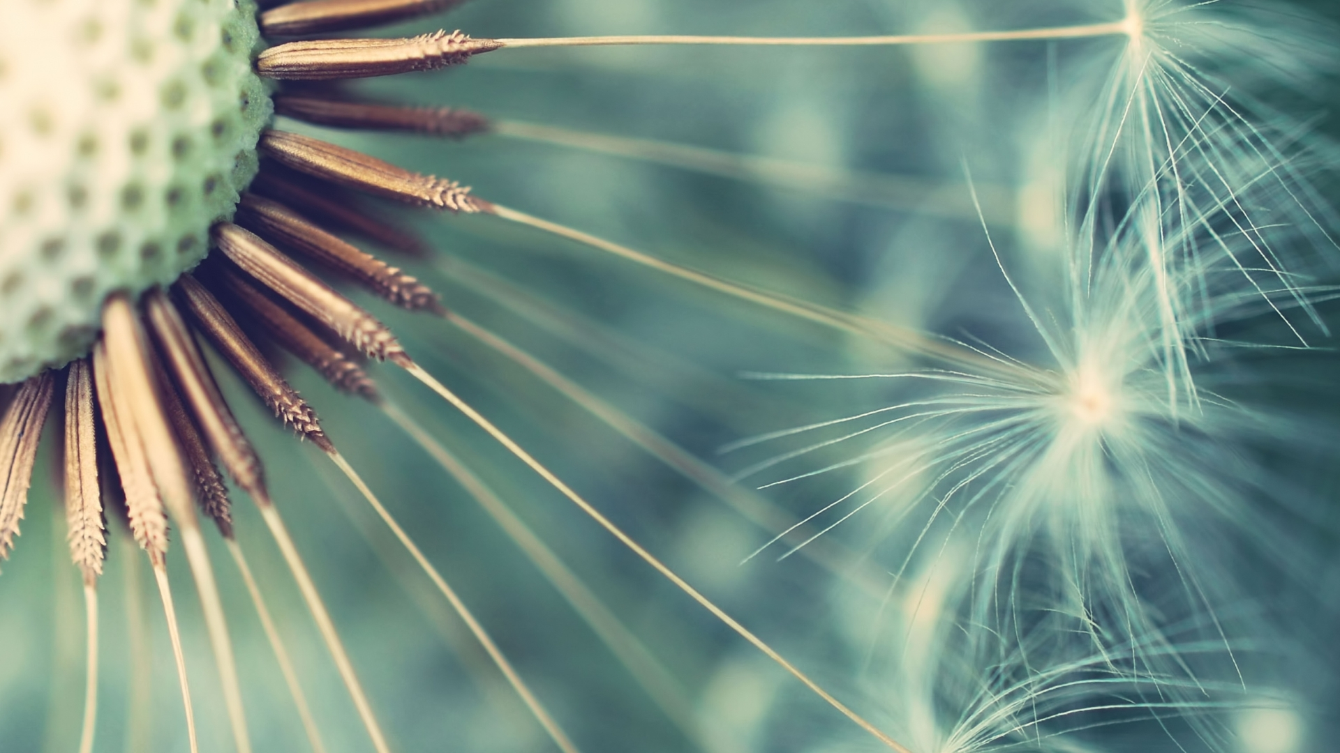 """Download the following Stunning Dandelion Wallpaper 21990 by clicking the orange button positioned underneath the """"Download Wallpaper"""" section."""