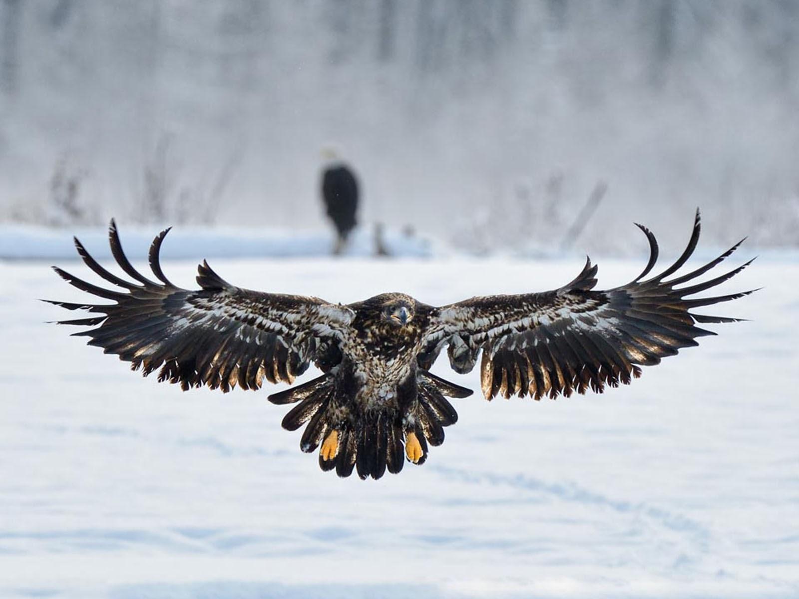 Stunning Eagle Wallpaper