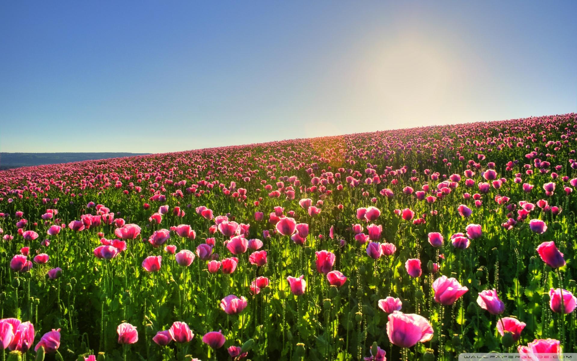 Beautiful Flower Field Wallpaper 13378