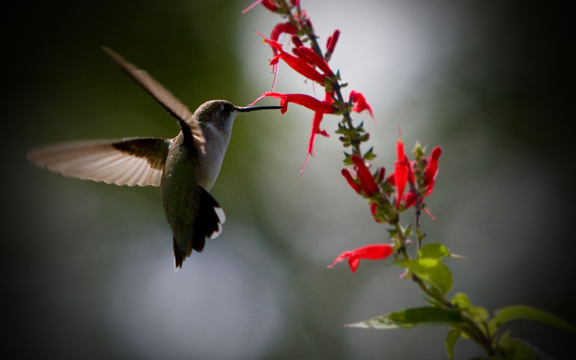 Stunning Hummingbird Wallpaper