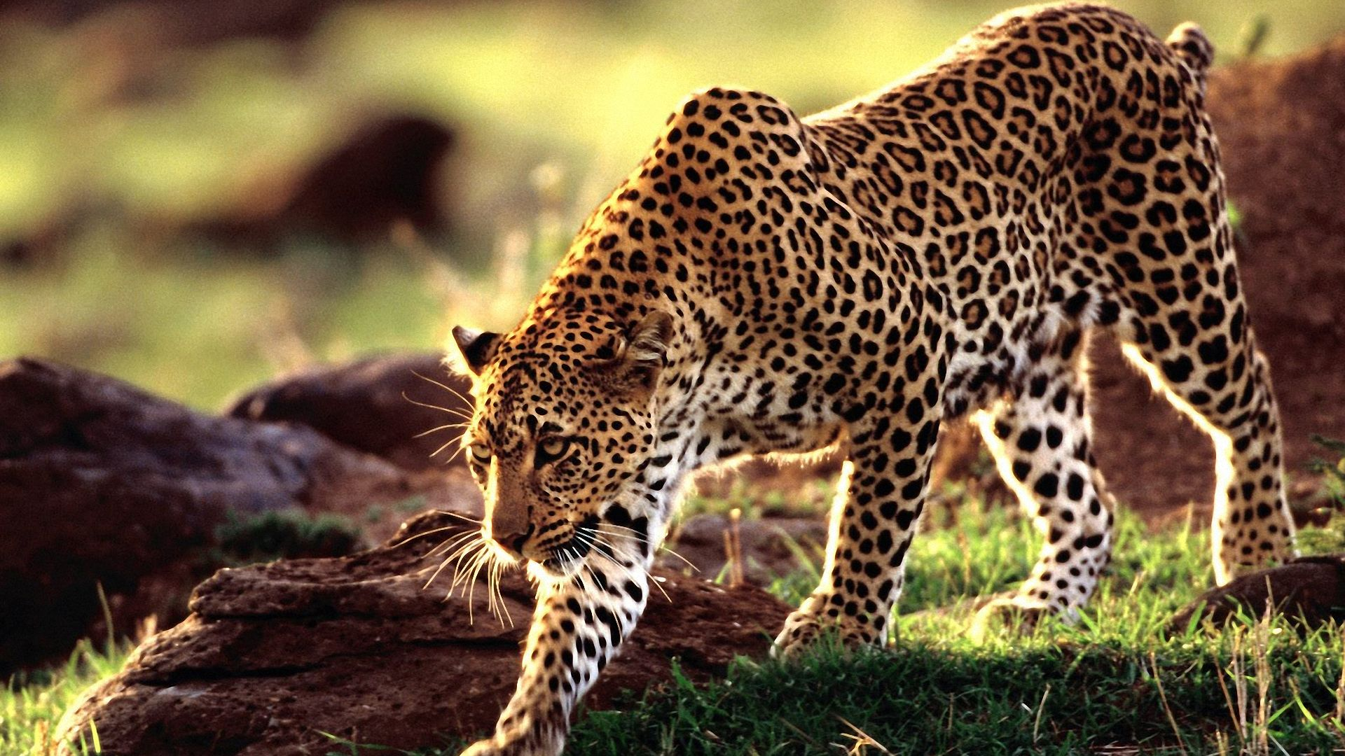 Stunning Leopard Wallpaper