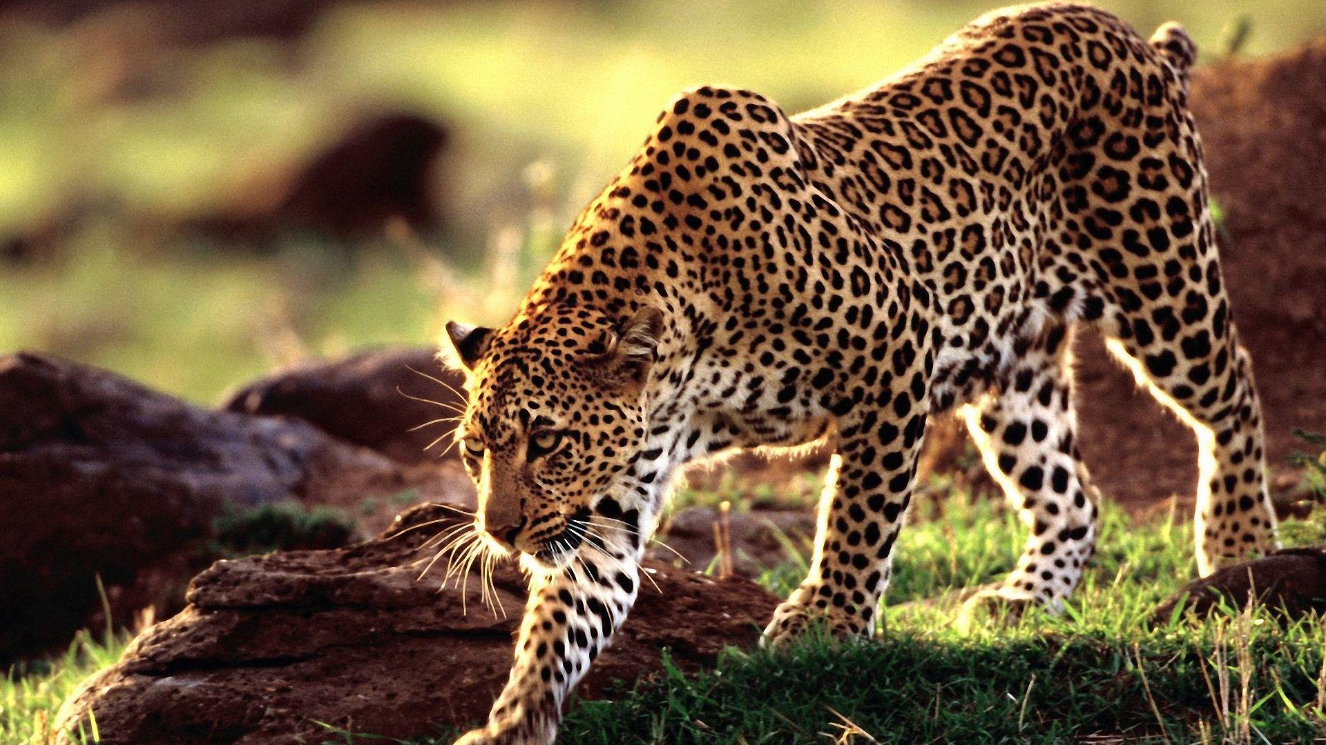 Stunning Leopard Wallpaper