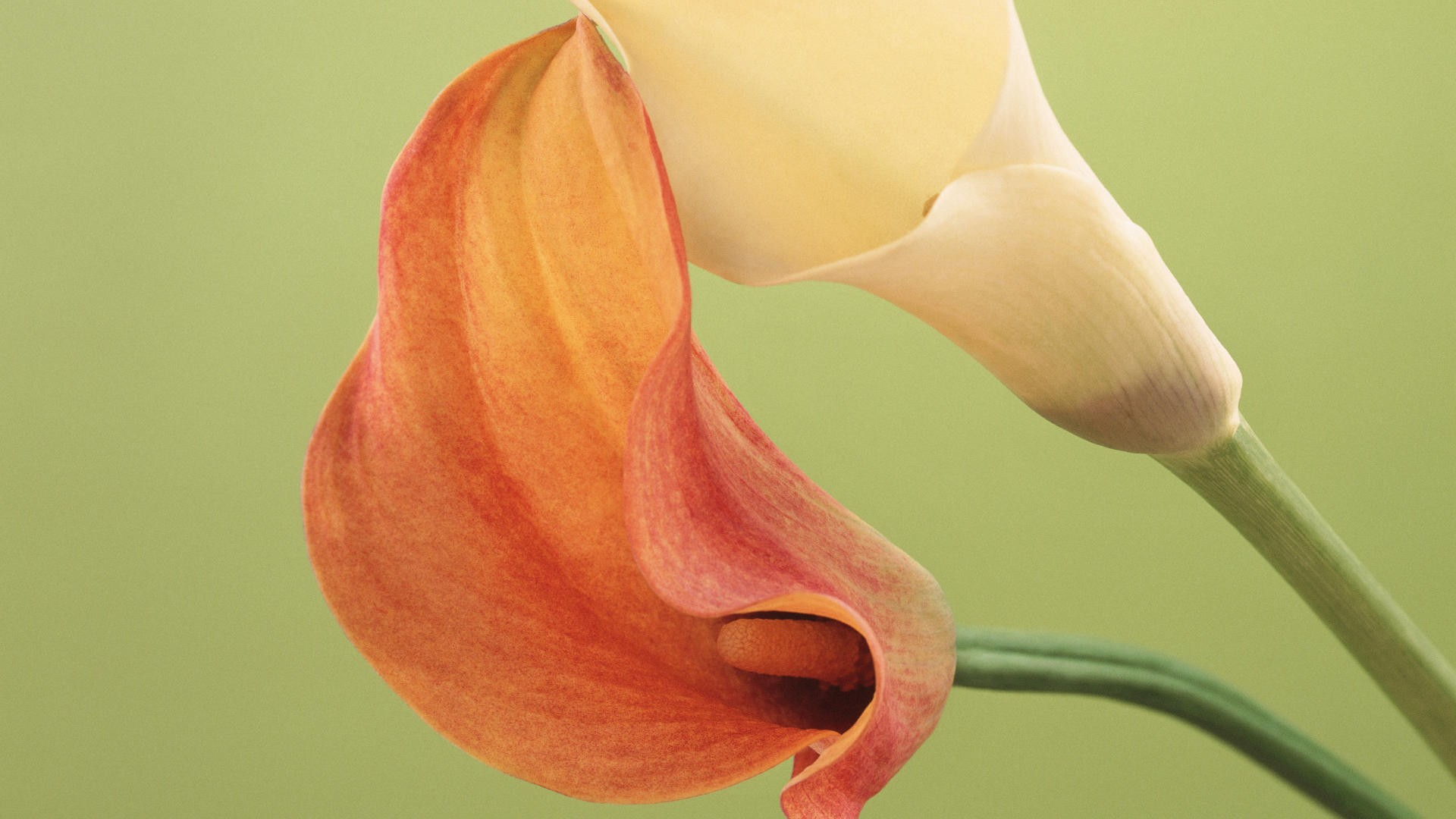 Stunning Lily Flowers