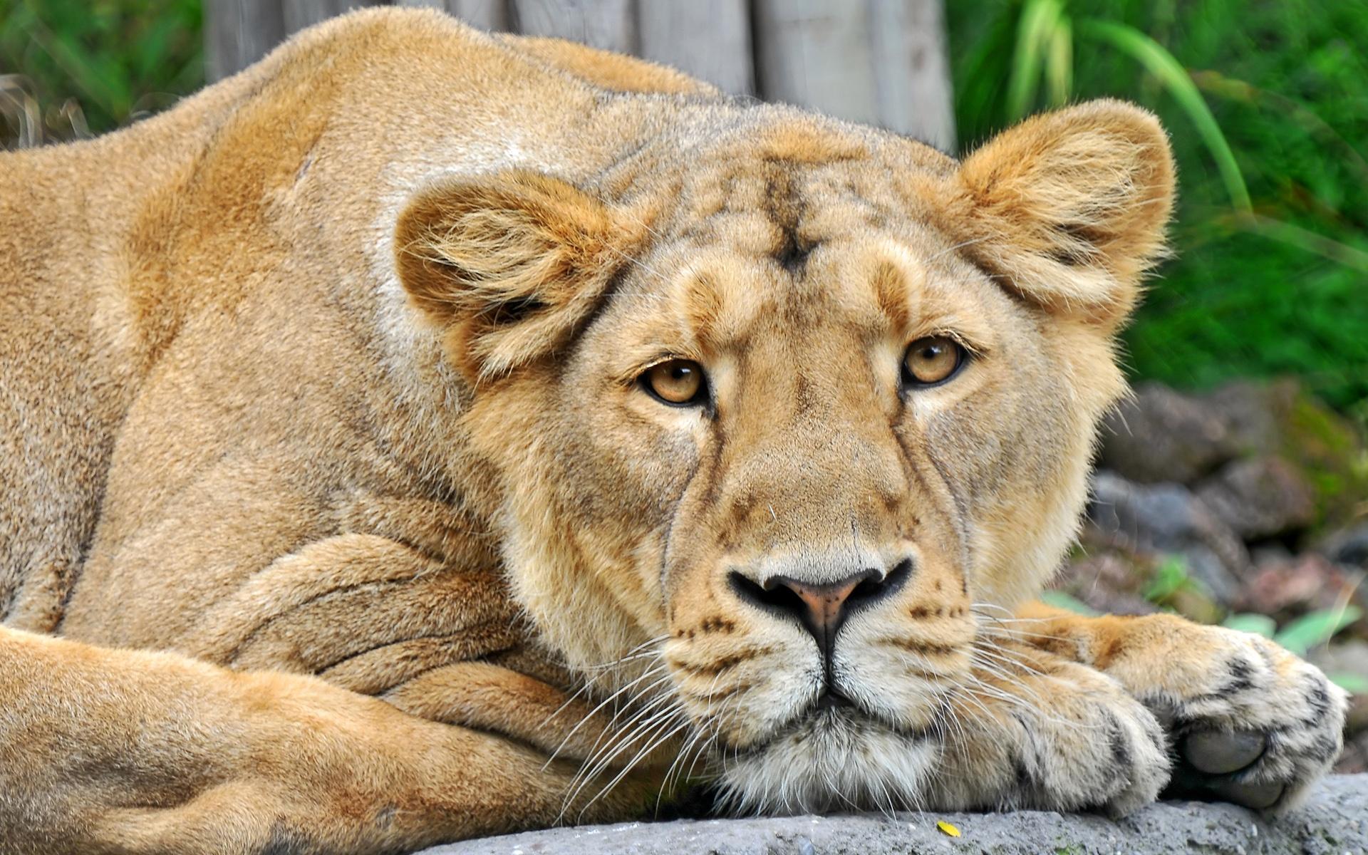 Stunning Lioness Wallpaper 14766