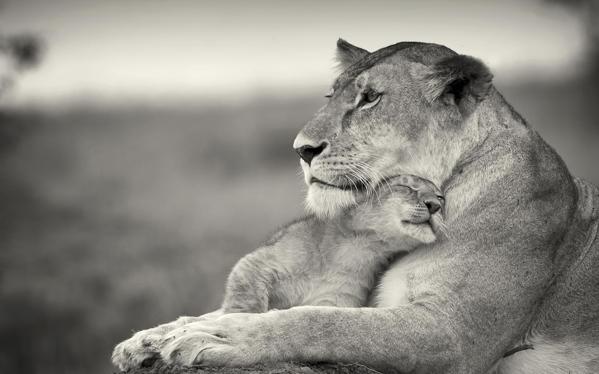 Stunning Lioness Wallpaper