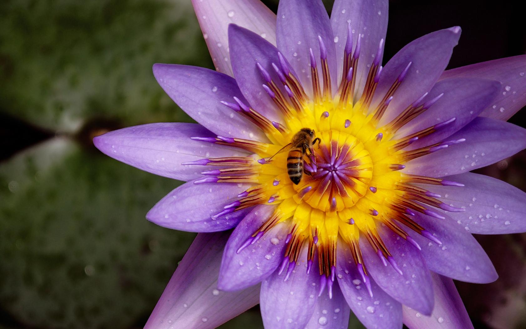 Stunning Lotus Flower Wallpaper 22019