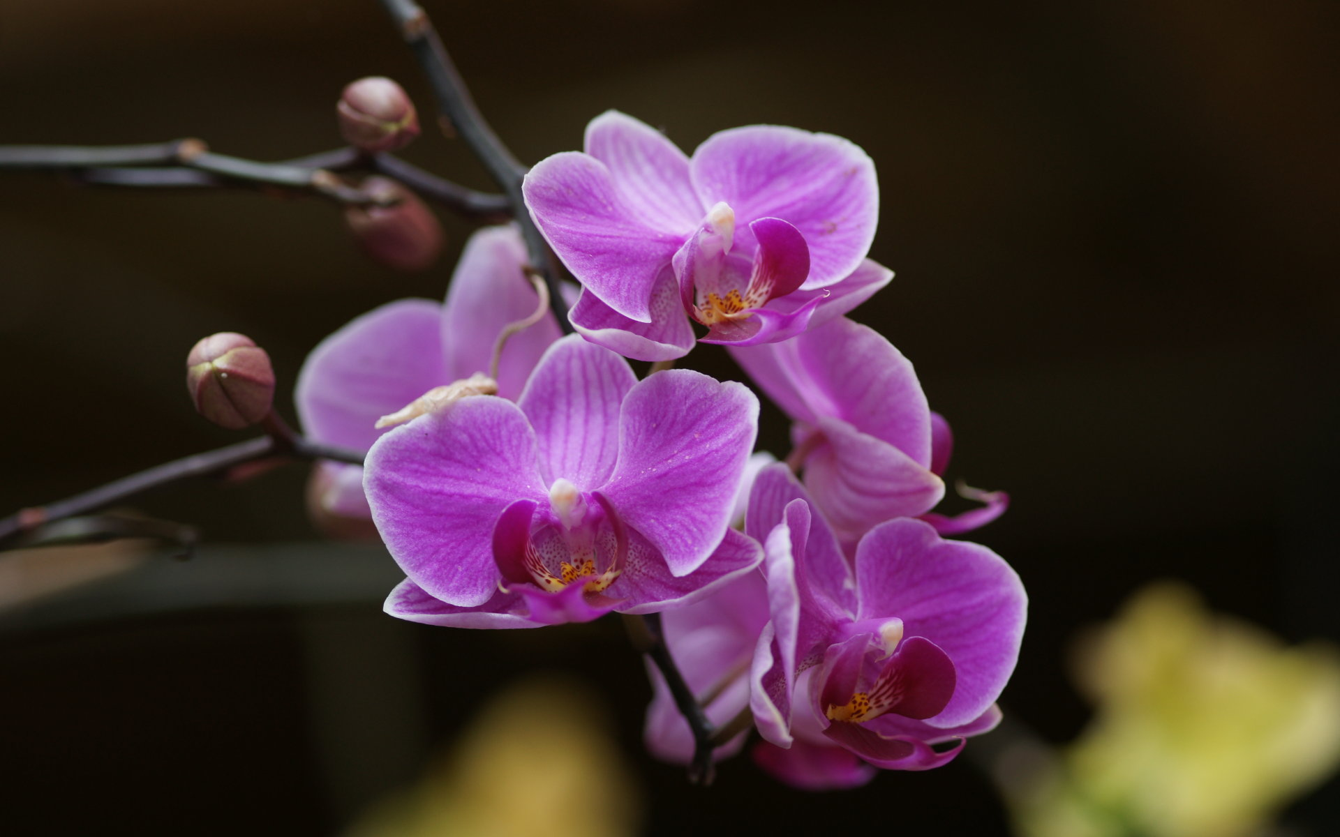 "Download the following Stunning Orchid Wallpaper 204 by clicking the button positioned underneath the ""Download Wallpaper"" section."