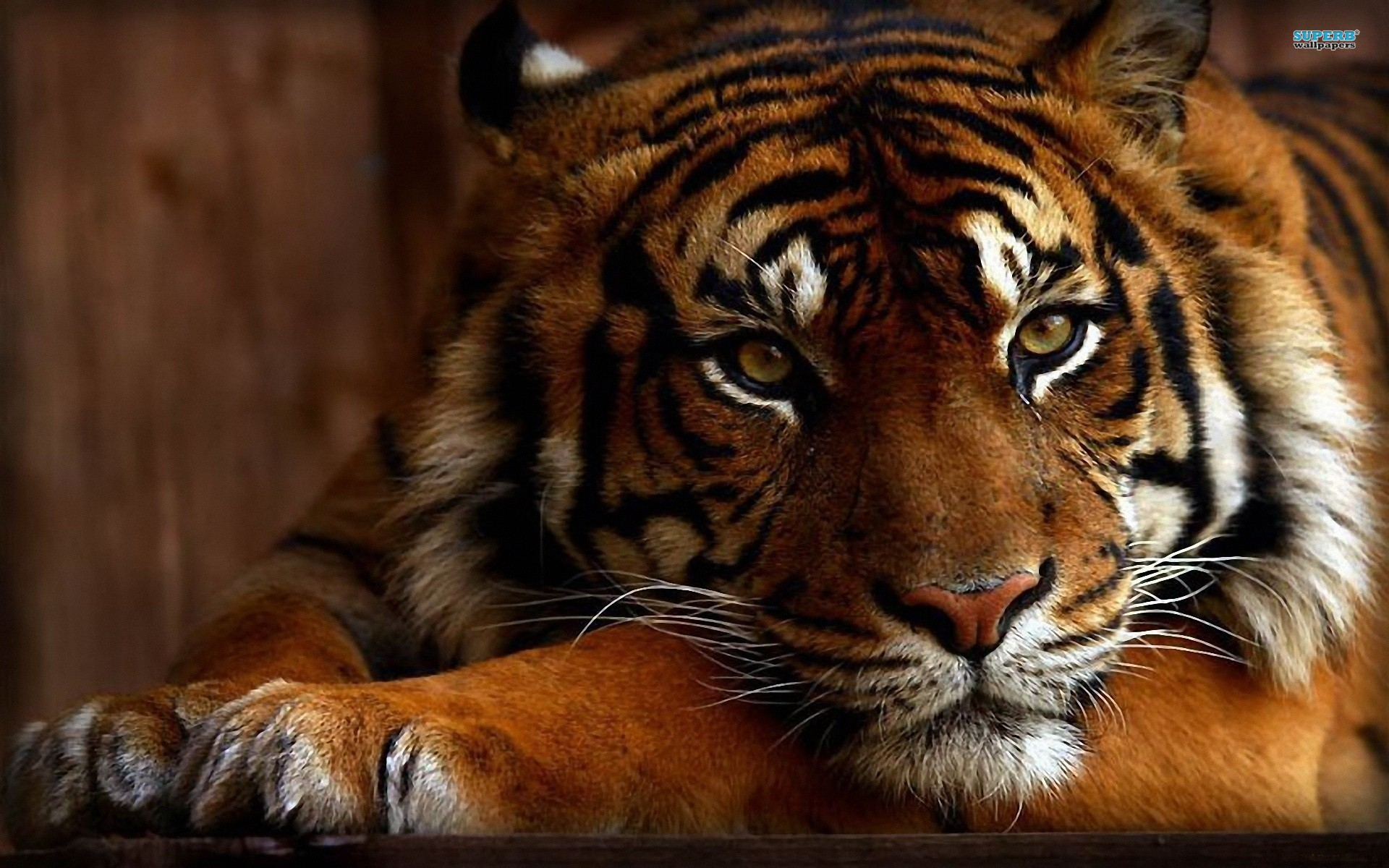 Stunning Tiger wallpaper