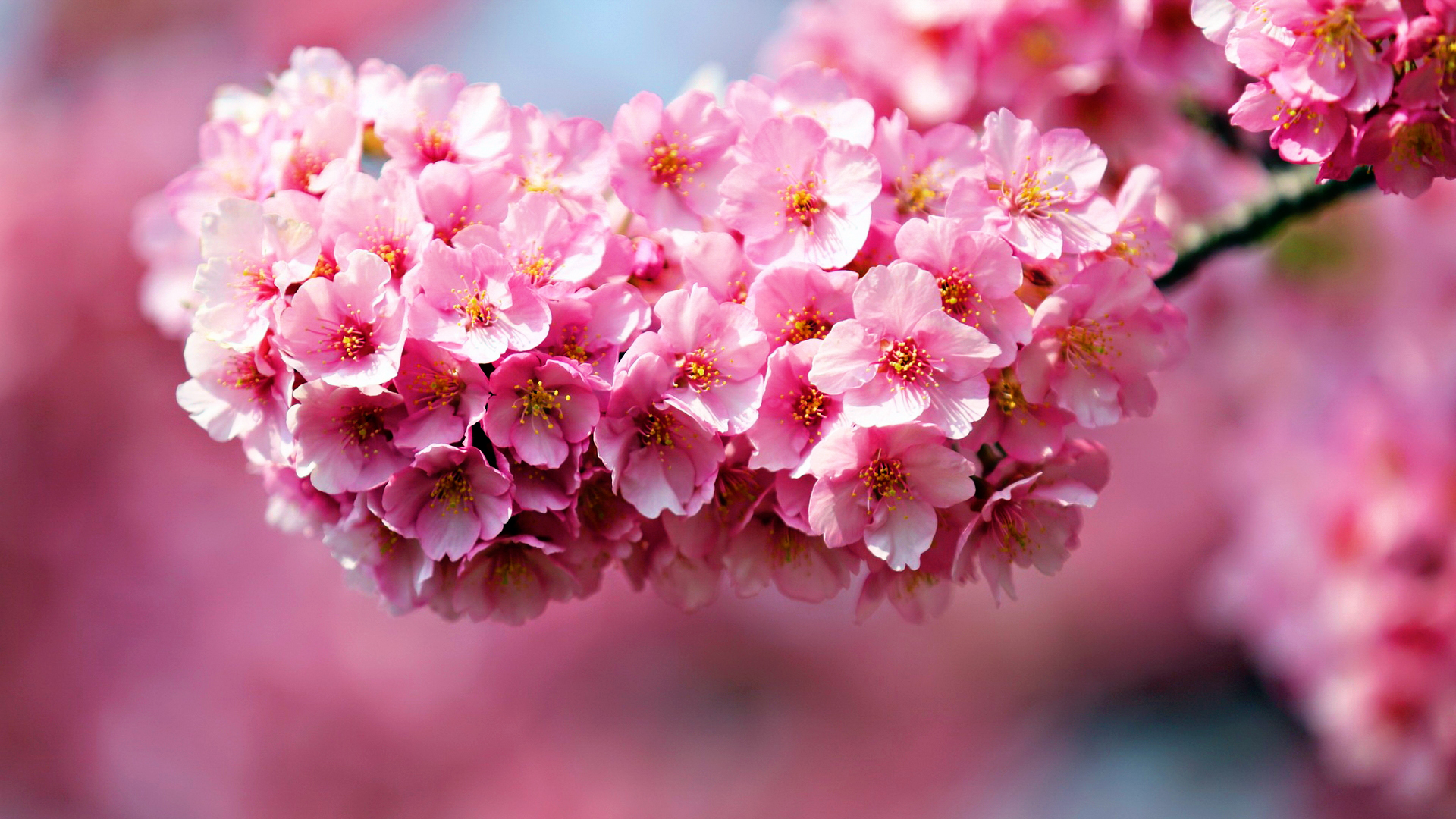 """Download the following Pink Flowers Wallpaper 862 by clicking the button positioned underneath the """"Download Wallpaper"""" section."""