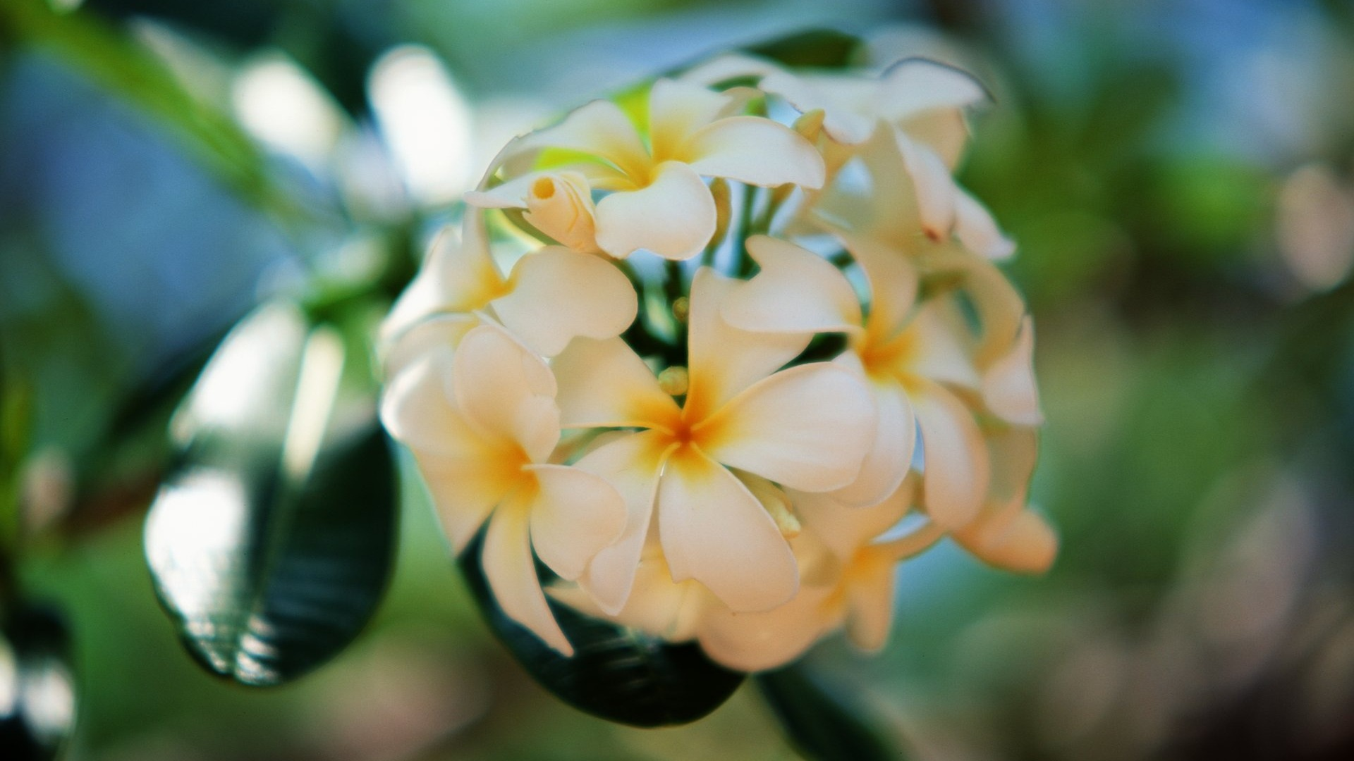"""Download the following Stunning Plumeria Wallpaper 32348 by clicking the orange button positioned underneath the """"Download Wallpaper"""" section."""