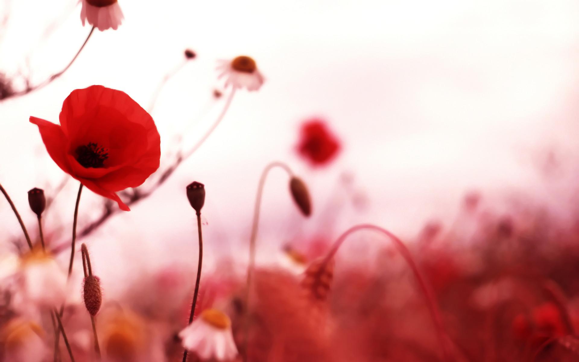 Stunning Poppy Wallpaper