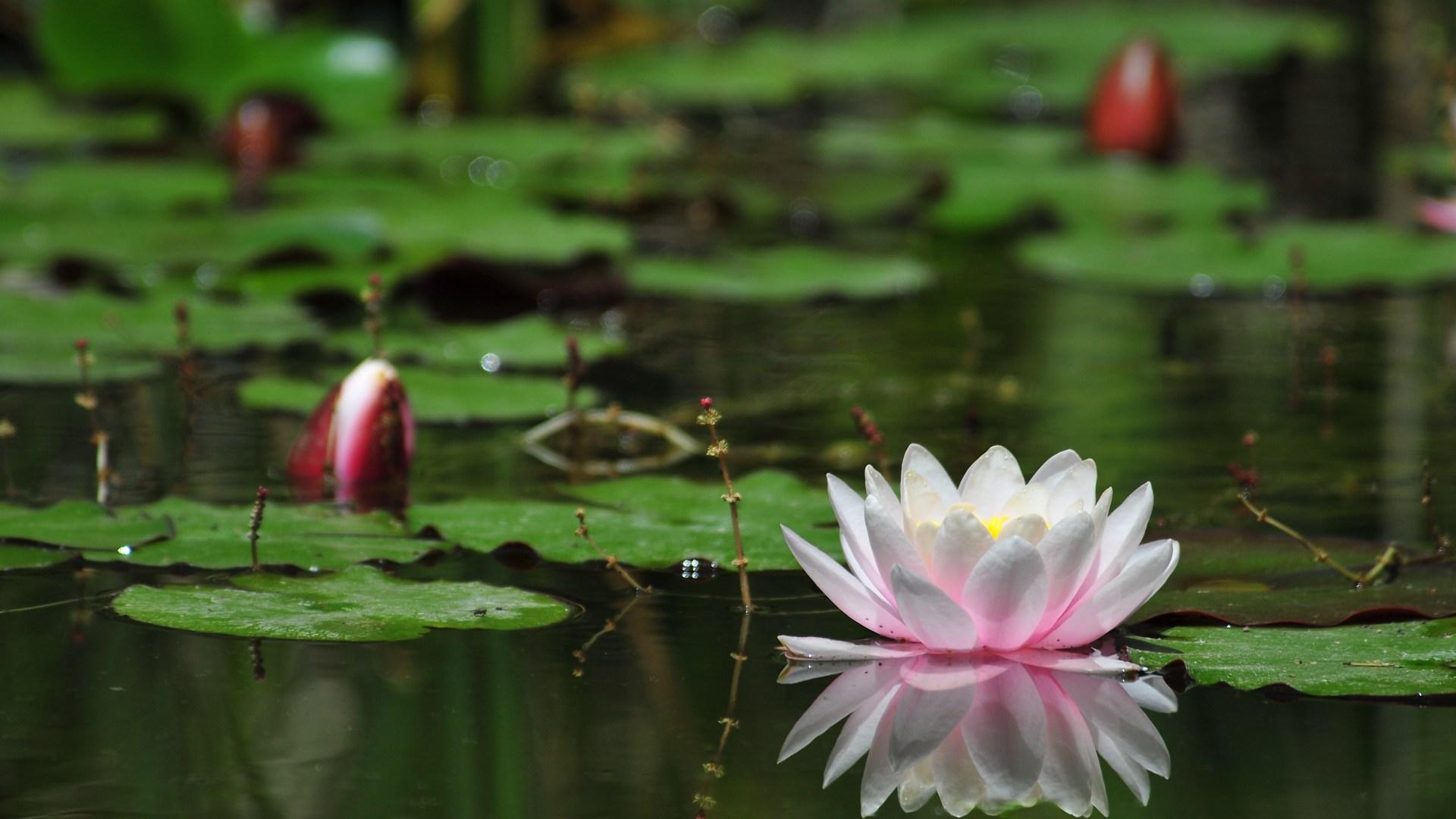 Water Flower Wallpaper