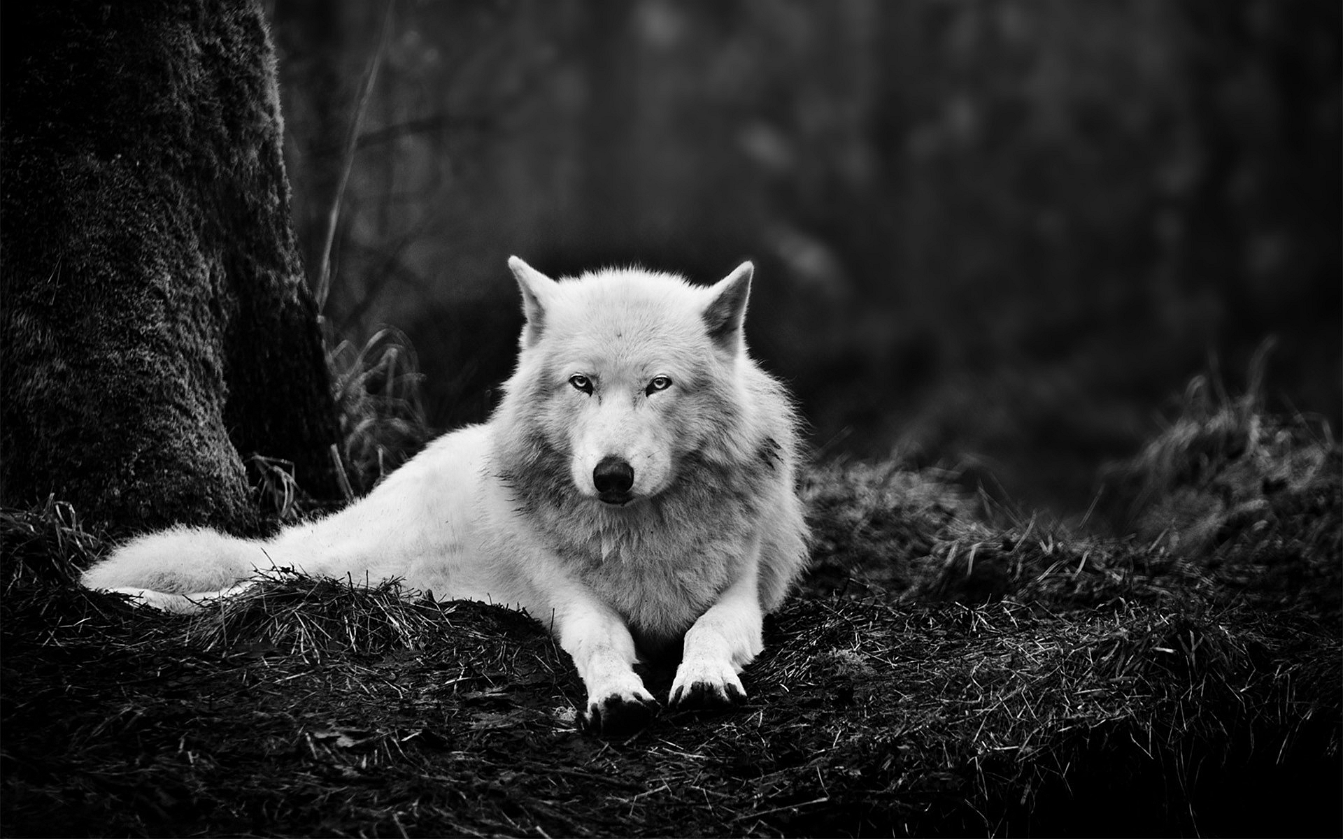 Stunning Wolf Up Close Wallpaper