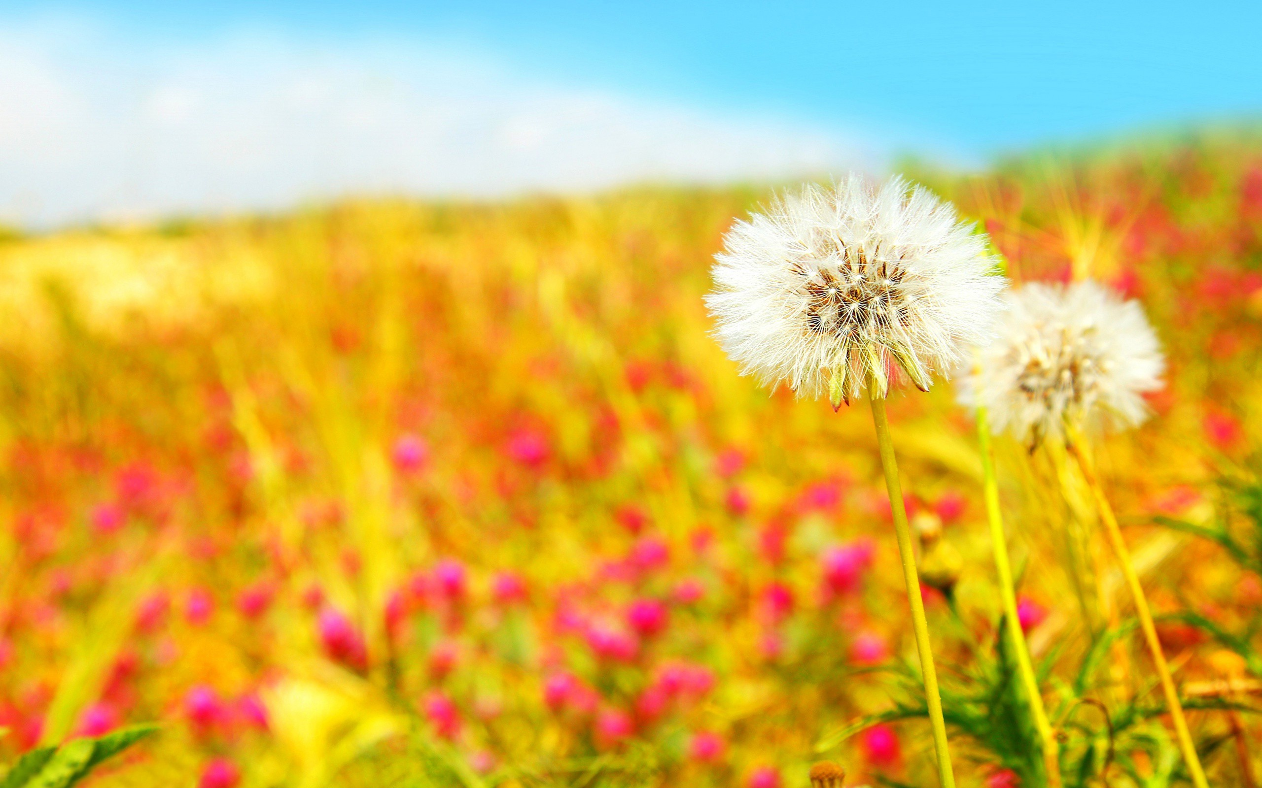 Summer blurred dandelions