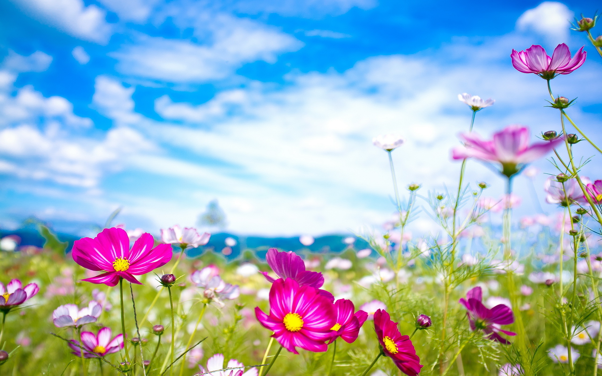 Pink Summer Flowers Desktop