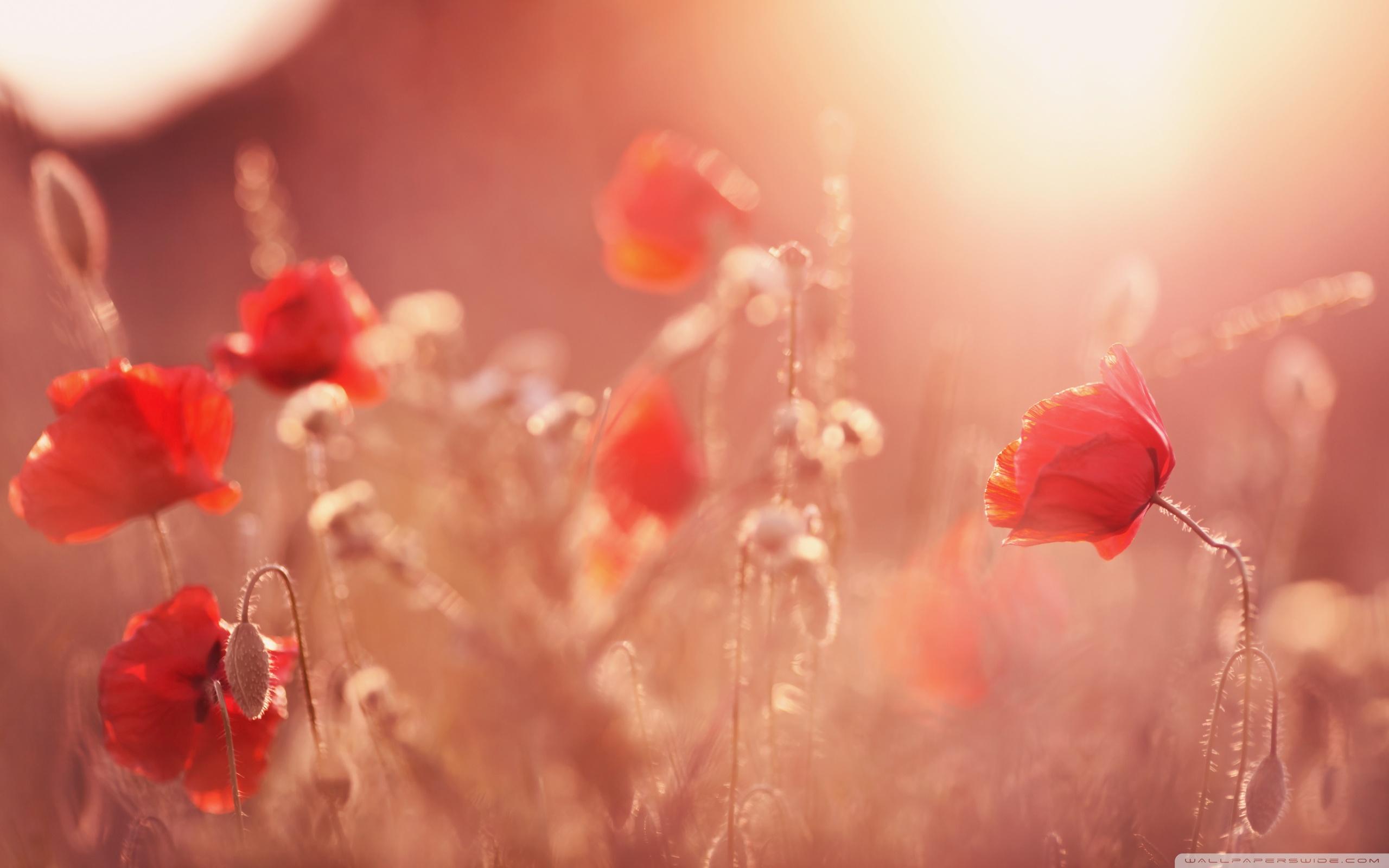 Summer poppies hd