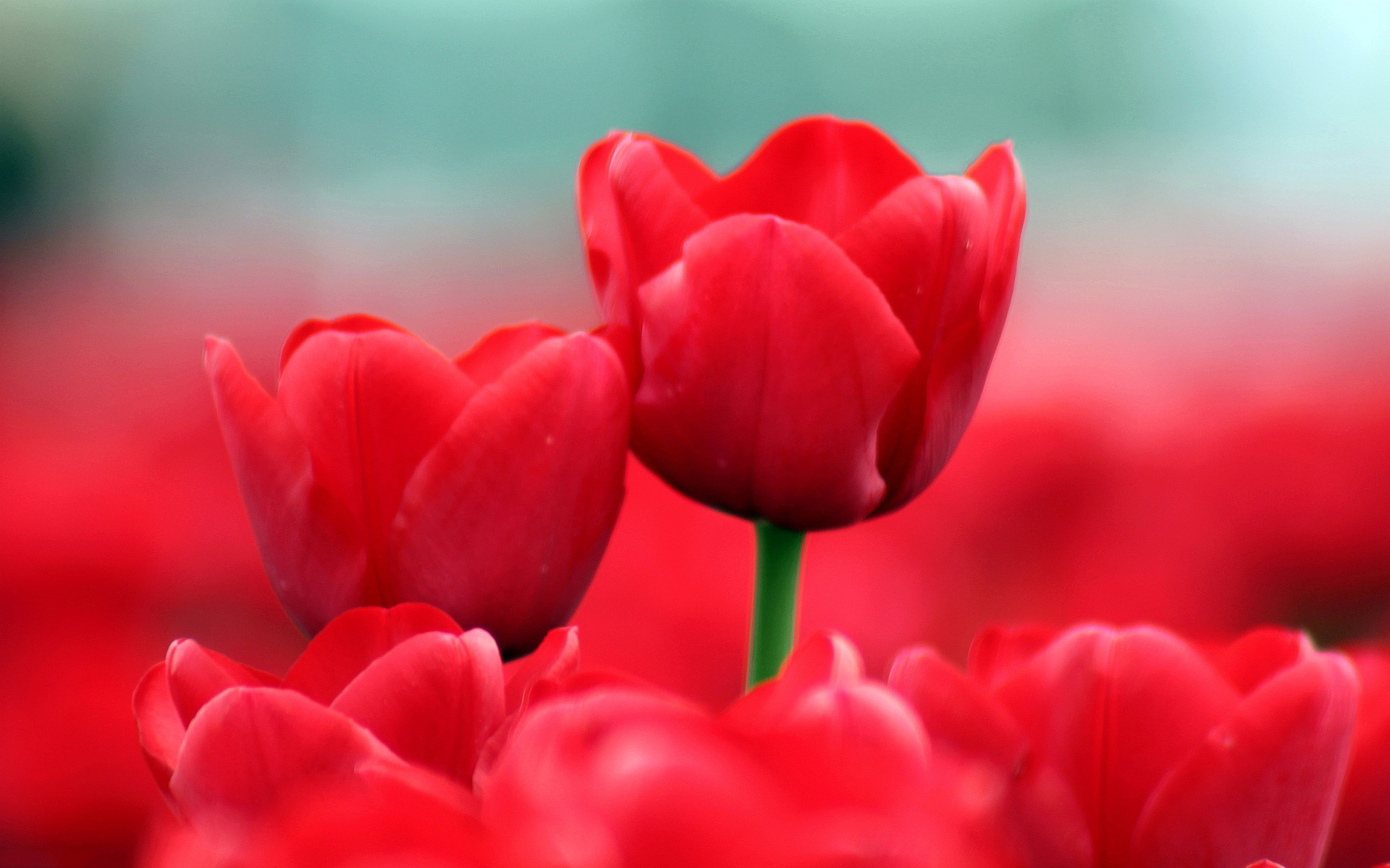 Summer red tulips