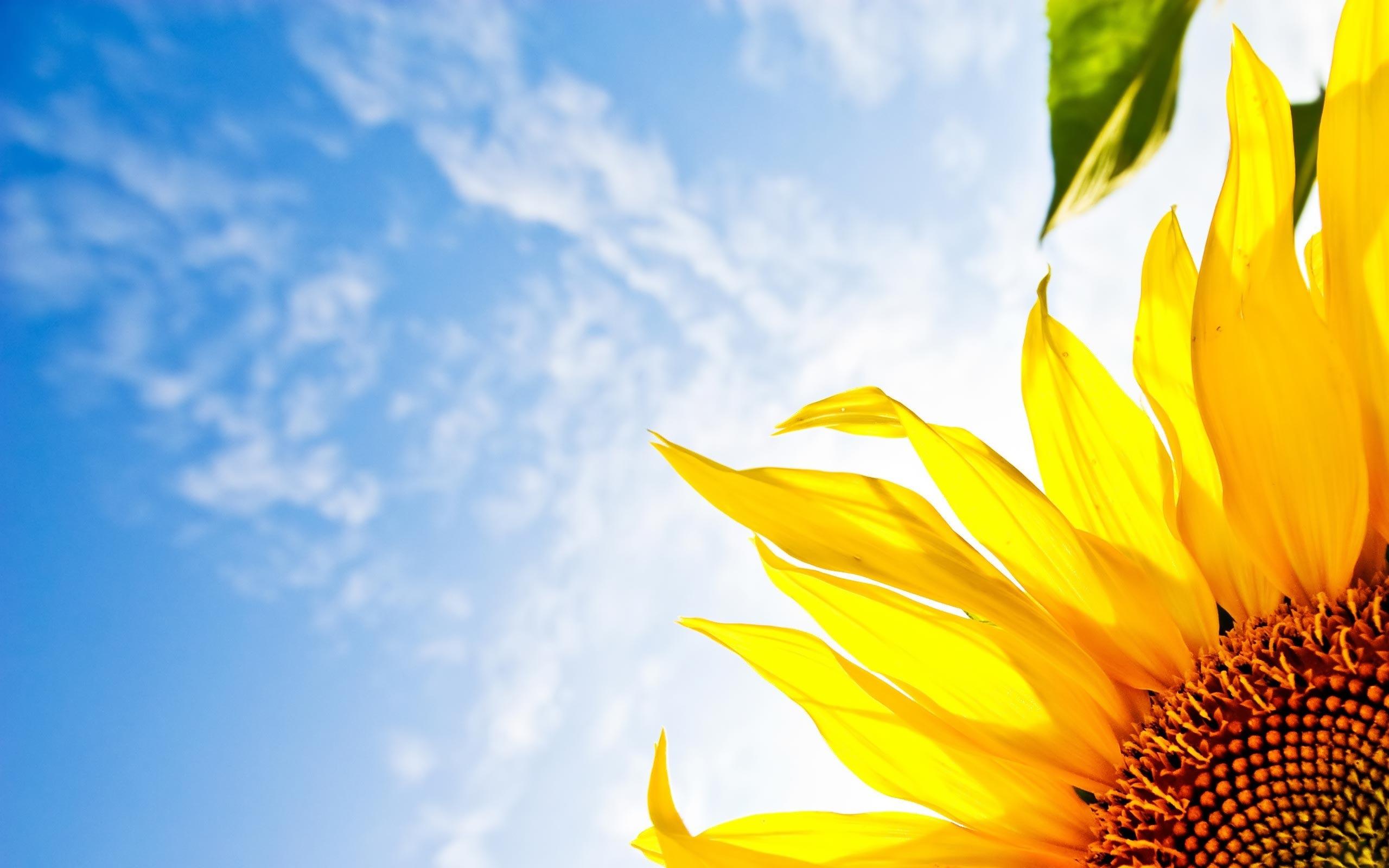 Desktop Wallpaper Gallery Windows Sky Sunflower Free
