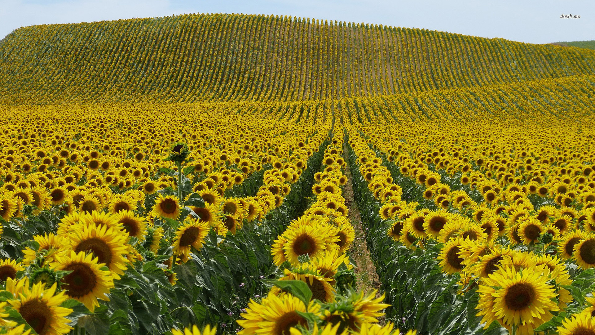 ... Sunflower field wallpaper 1920x1080 ...