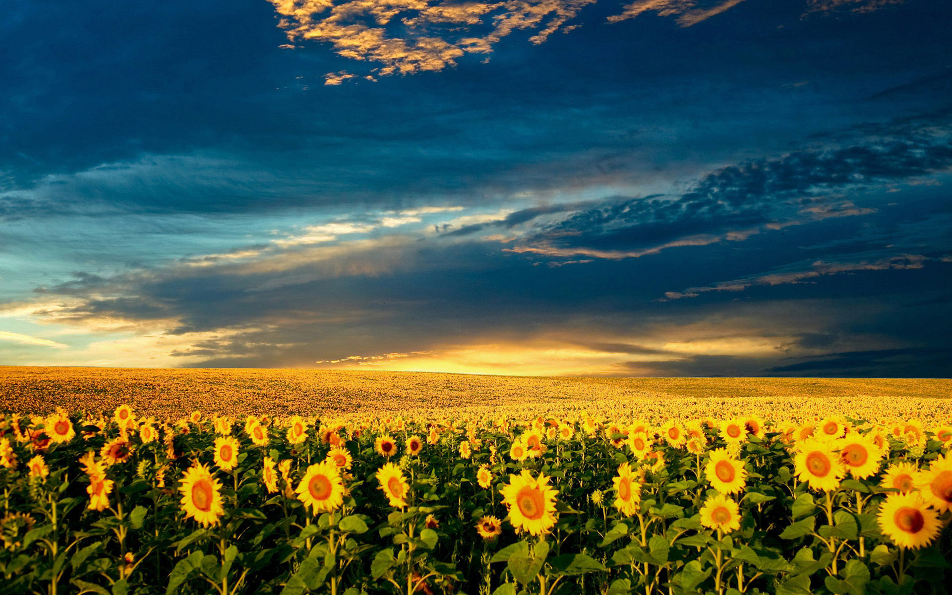 Sunflower Field Pictures