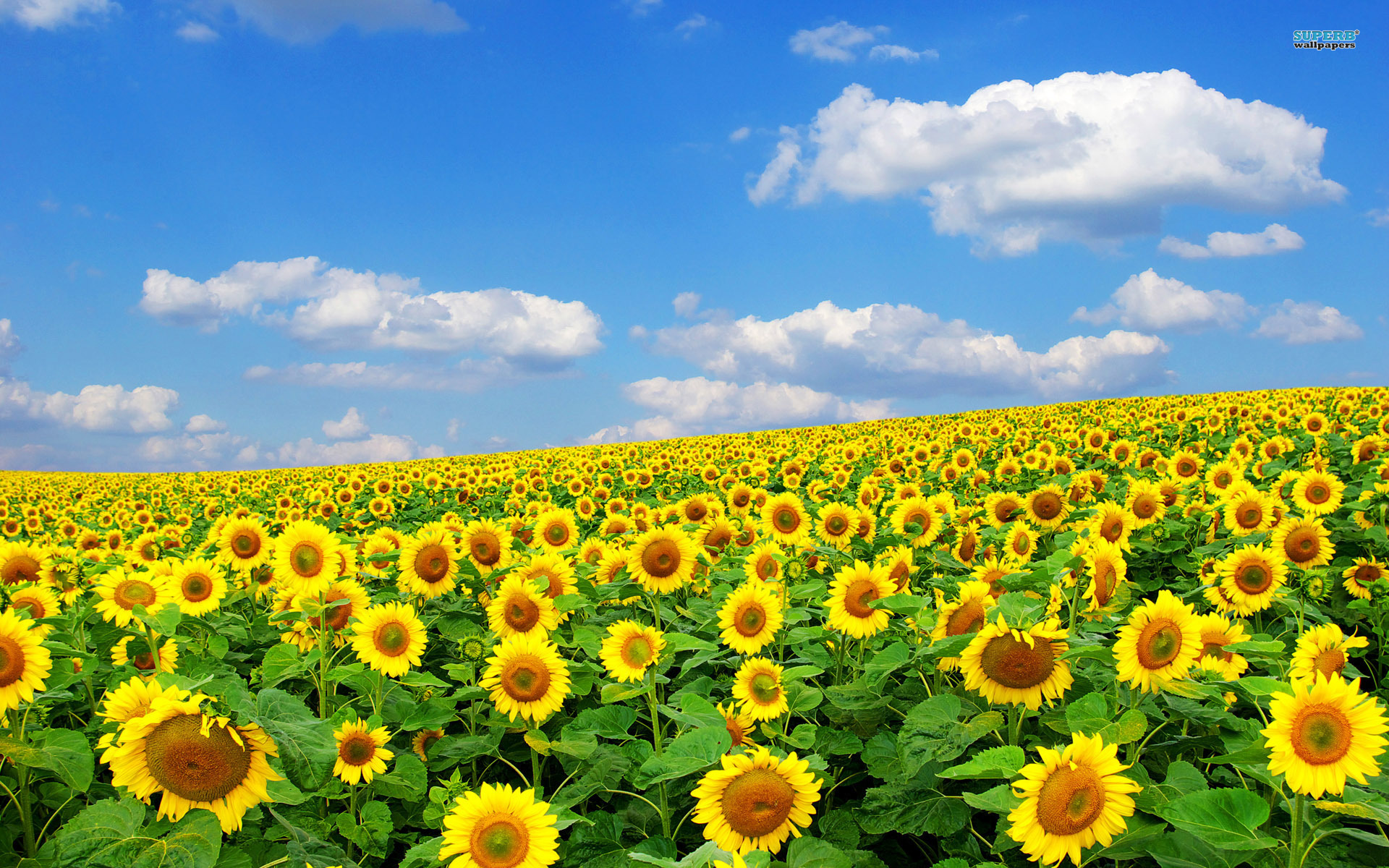 Sunflower Field Wallpaper