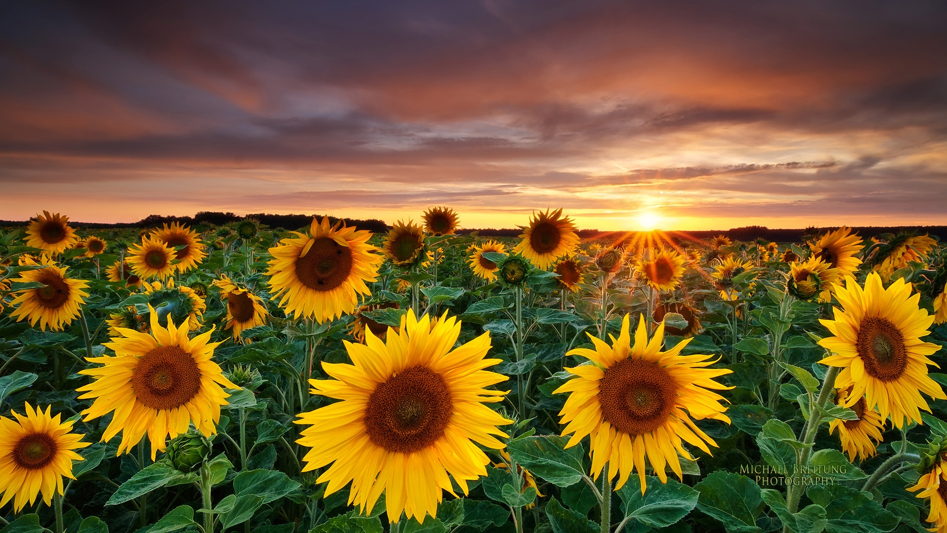 Sunflower hd wallpapers