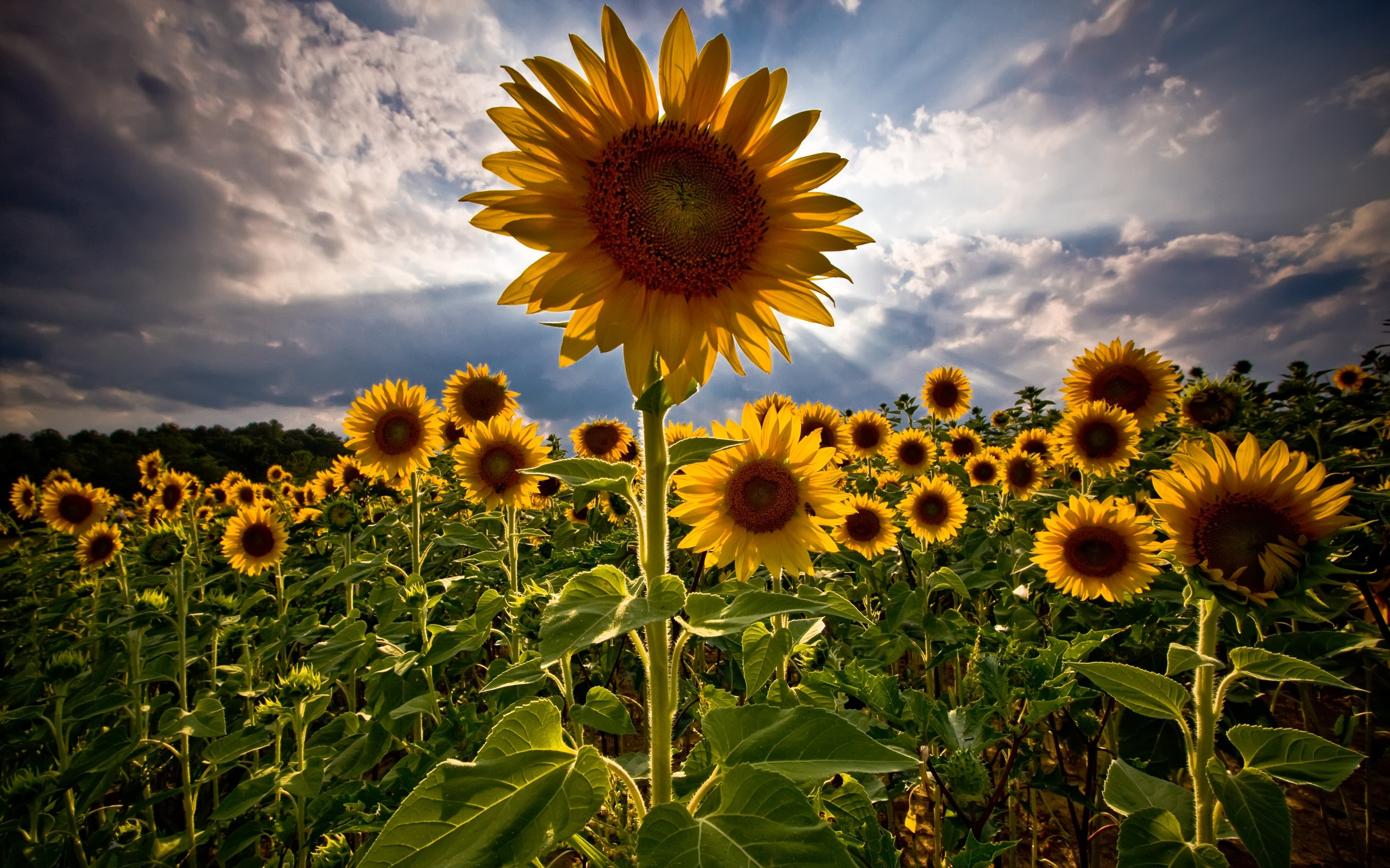 Beautiful Sunflower Wallpaper 3835