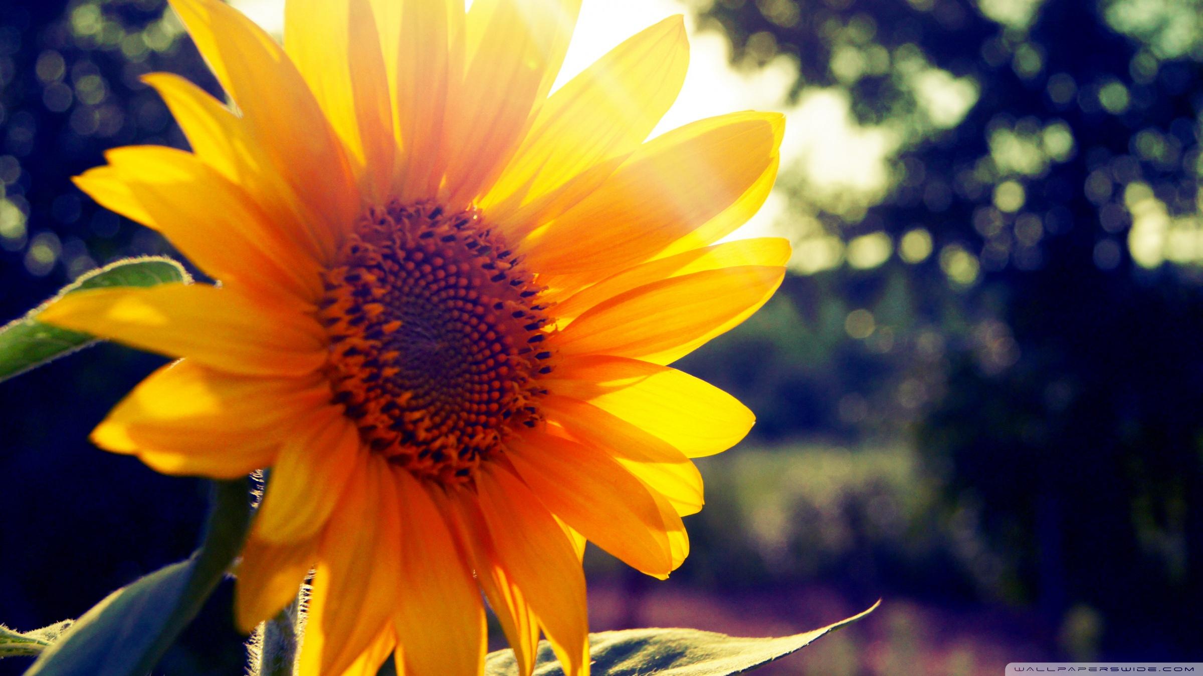 sunflower 8 wallpaper 1920x1080 - photo #16