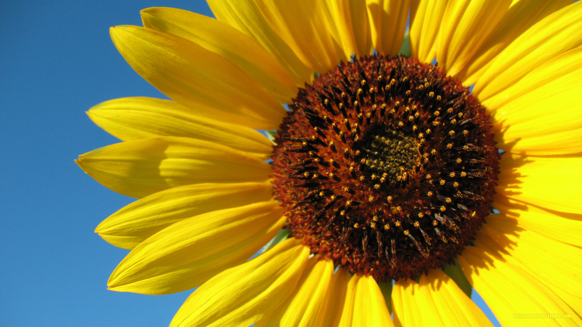 The Great Sunflower Project was started in 2008, by Gretchen LuBuhn, a biologist at San Francisco State University who was interested in the migratory ...