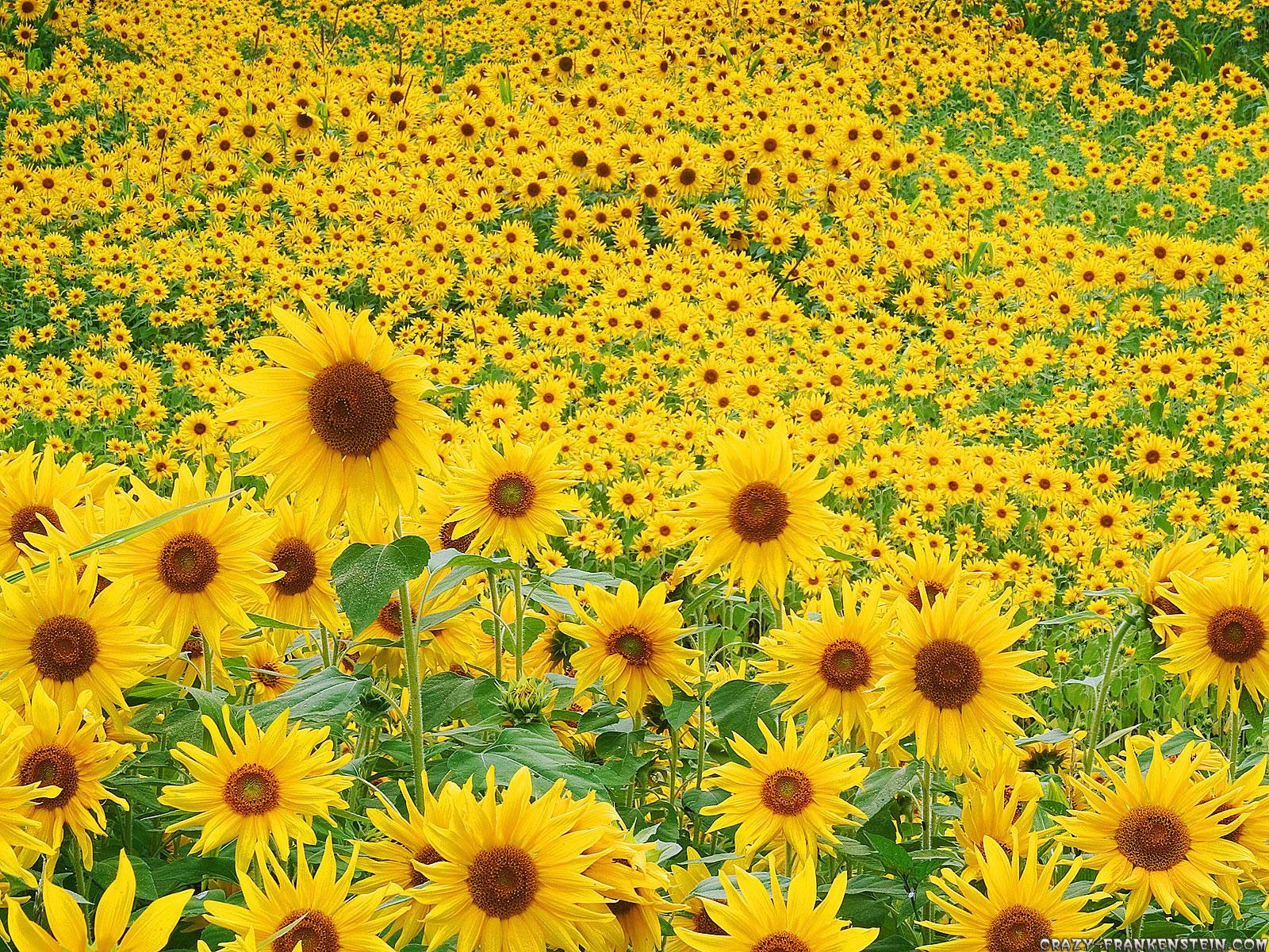 sunflowers - sunflower-seeds Wallpaper