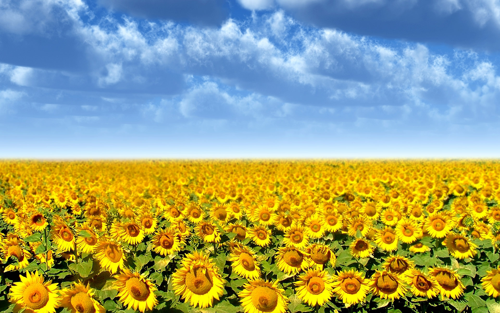 Sunflower Field 21586