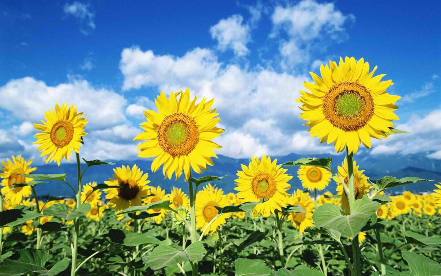 sunflower seeds ~sunflowers~