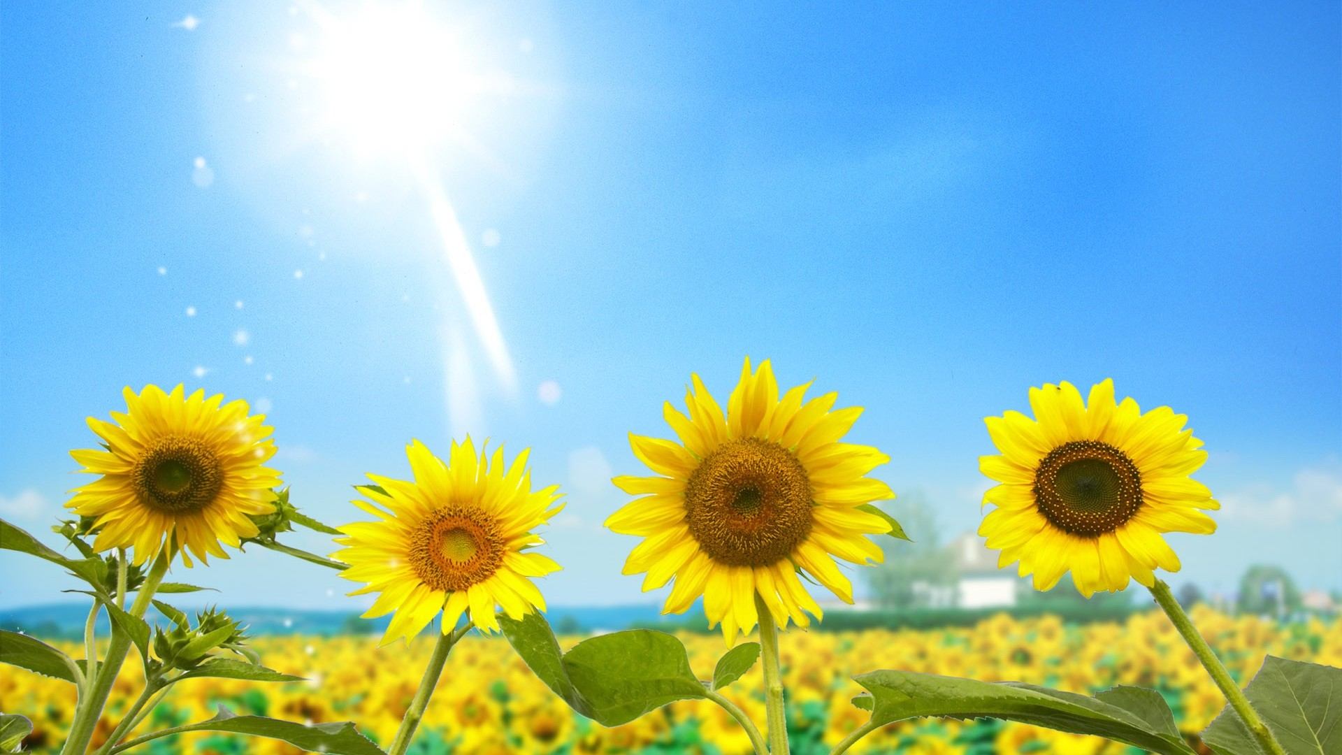 Summer Sunflower Wallpaper