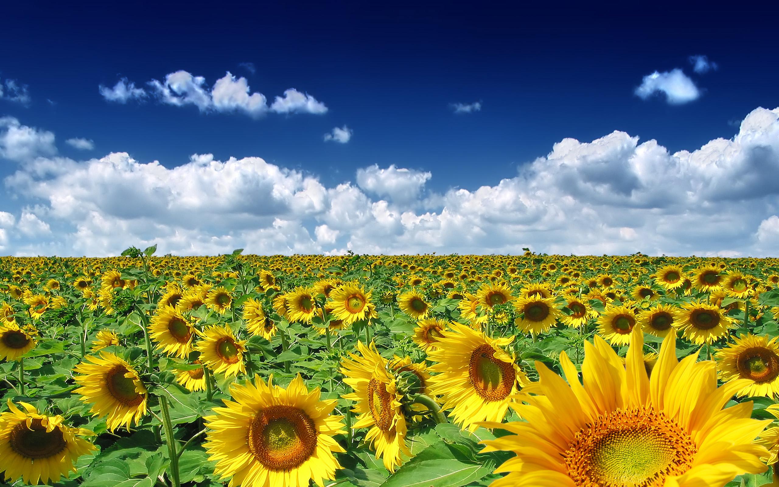 Sunflowers Summer Field Nature
