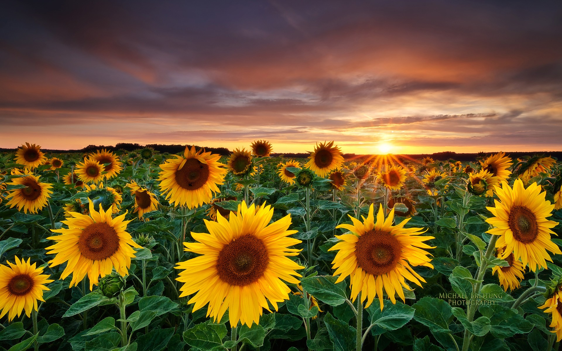Nature Fields Sunflowers Yellow Flowers Wallpaper 1920x1200px