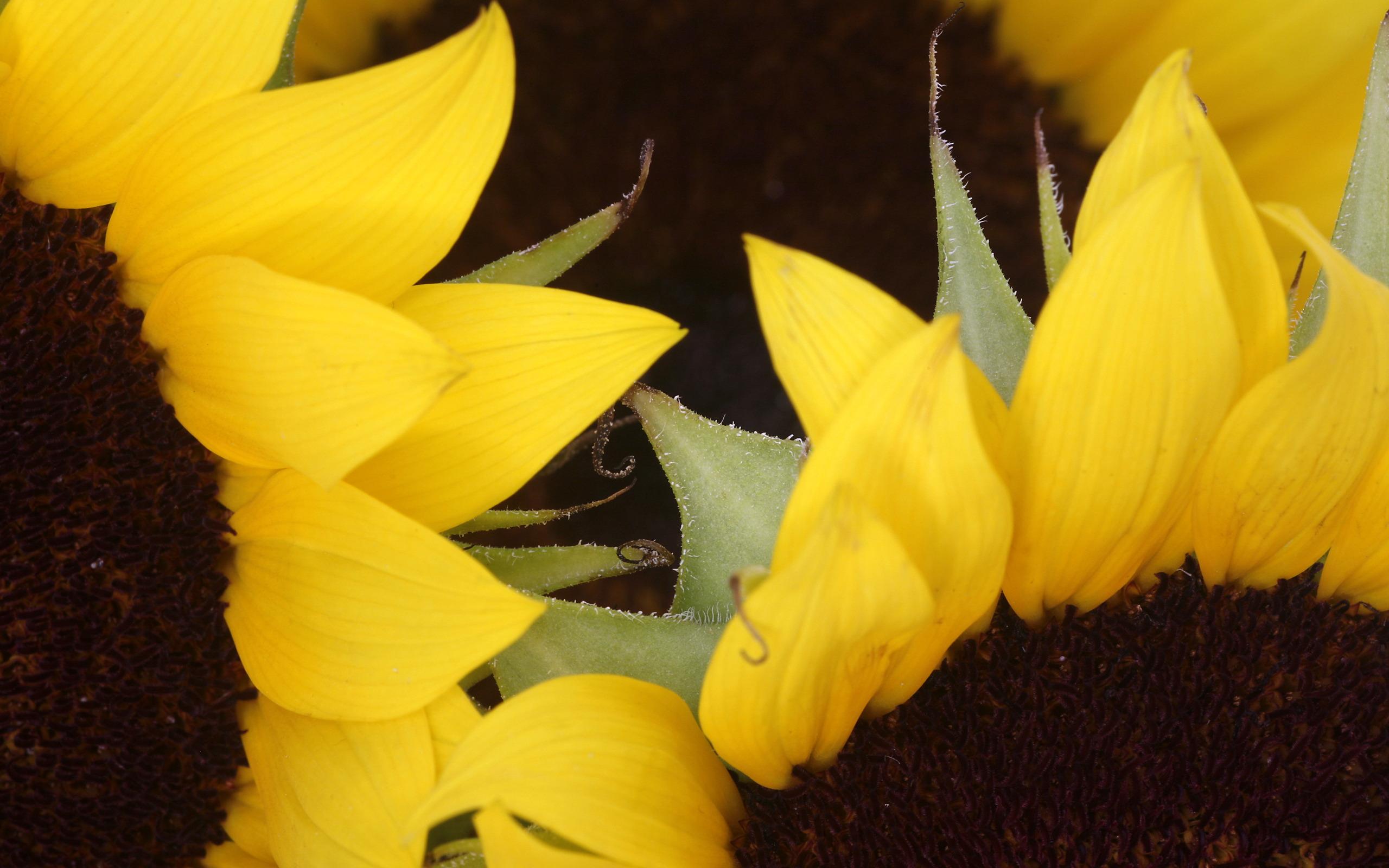 Sunflowers Zoom
