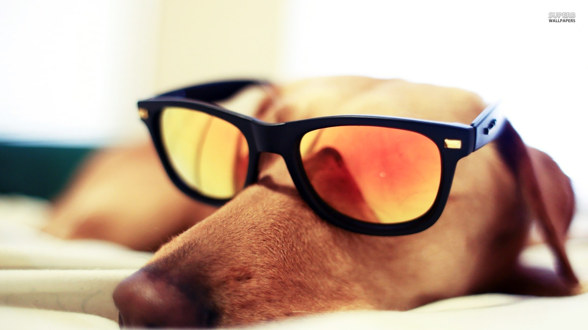 Dog sleeping with sunglasses wallpaper 1920x1080
