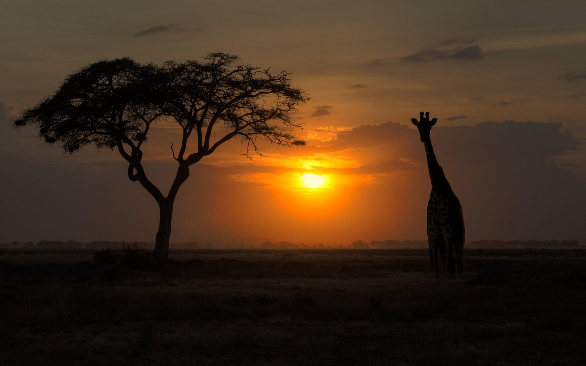 Sunset Giraffe Tree Photo
